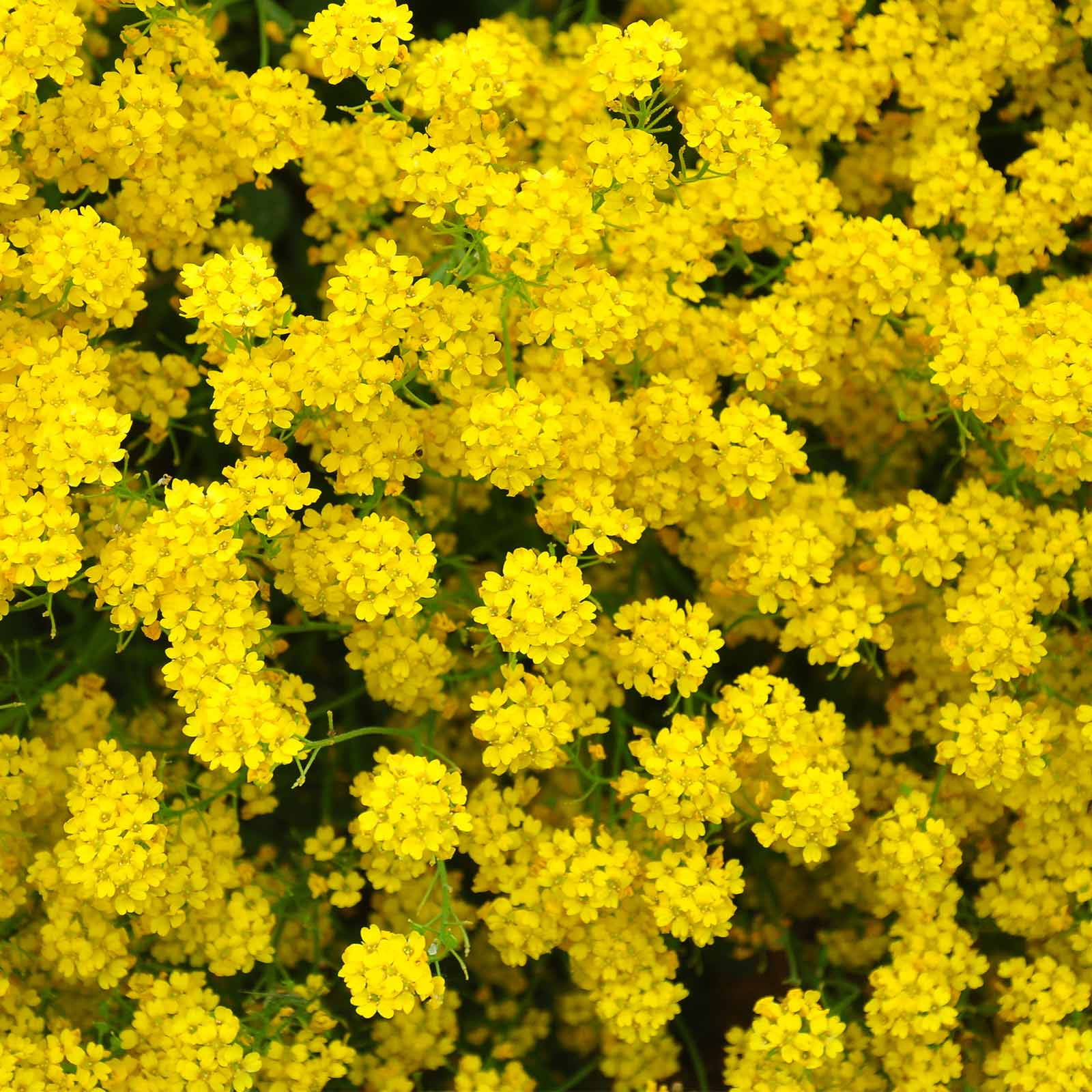 Alyssum Basket Of Gold Seeds 14 Oz Perennial Flower Garden