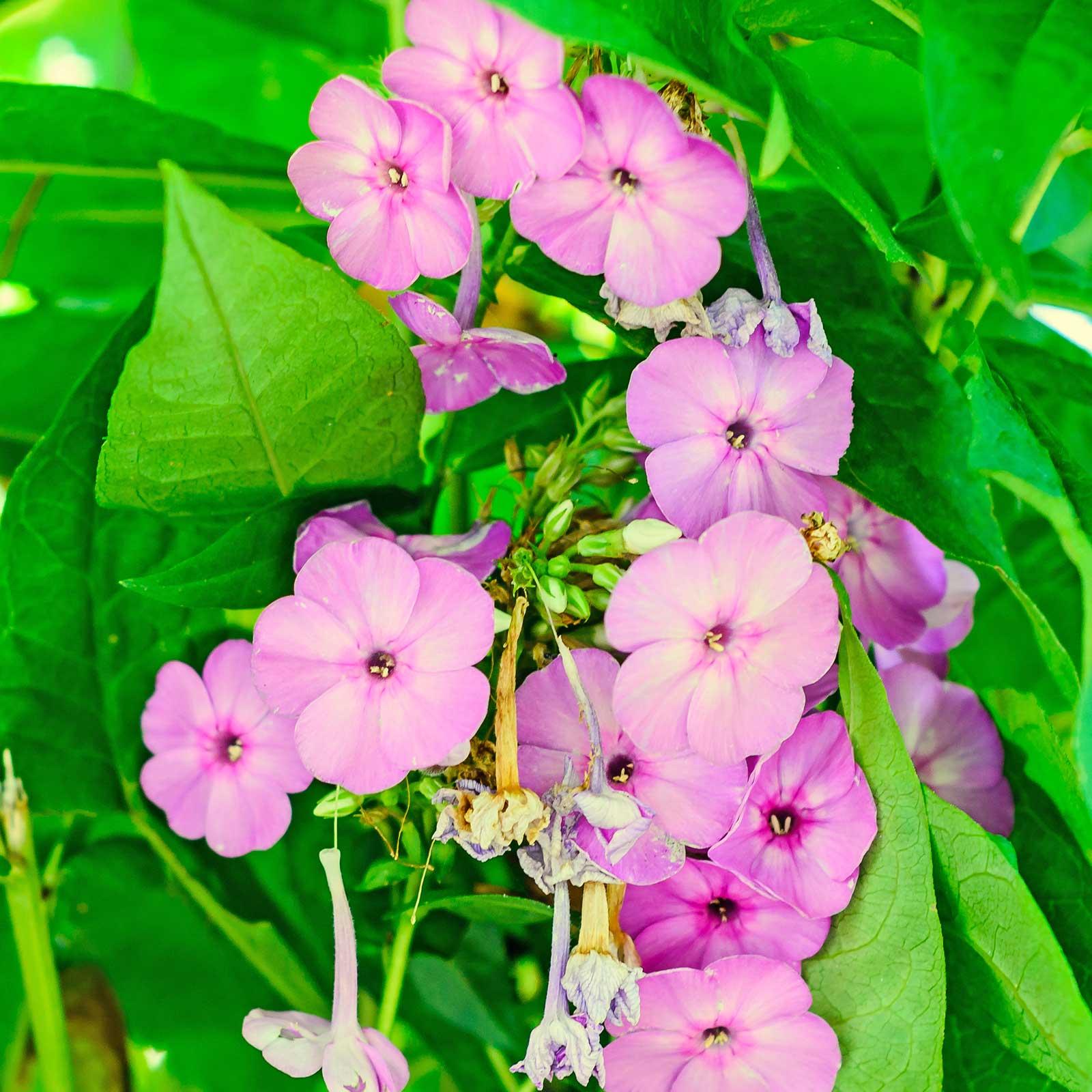 Arabis Compinkie Flower Seeds 500 Seeds Pink Rose Perennial
