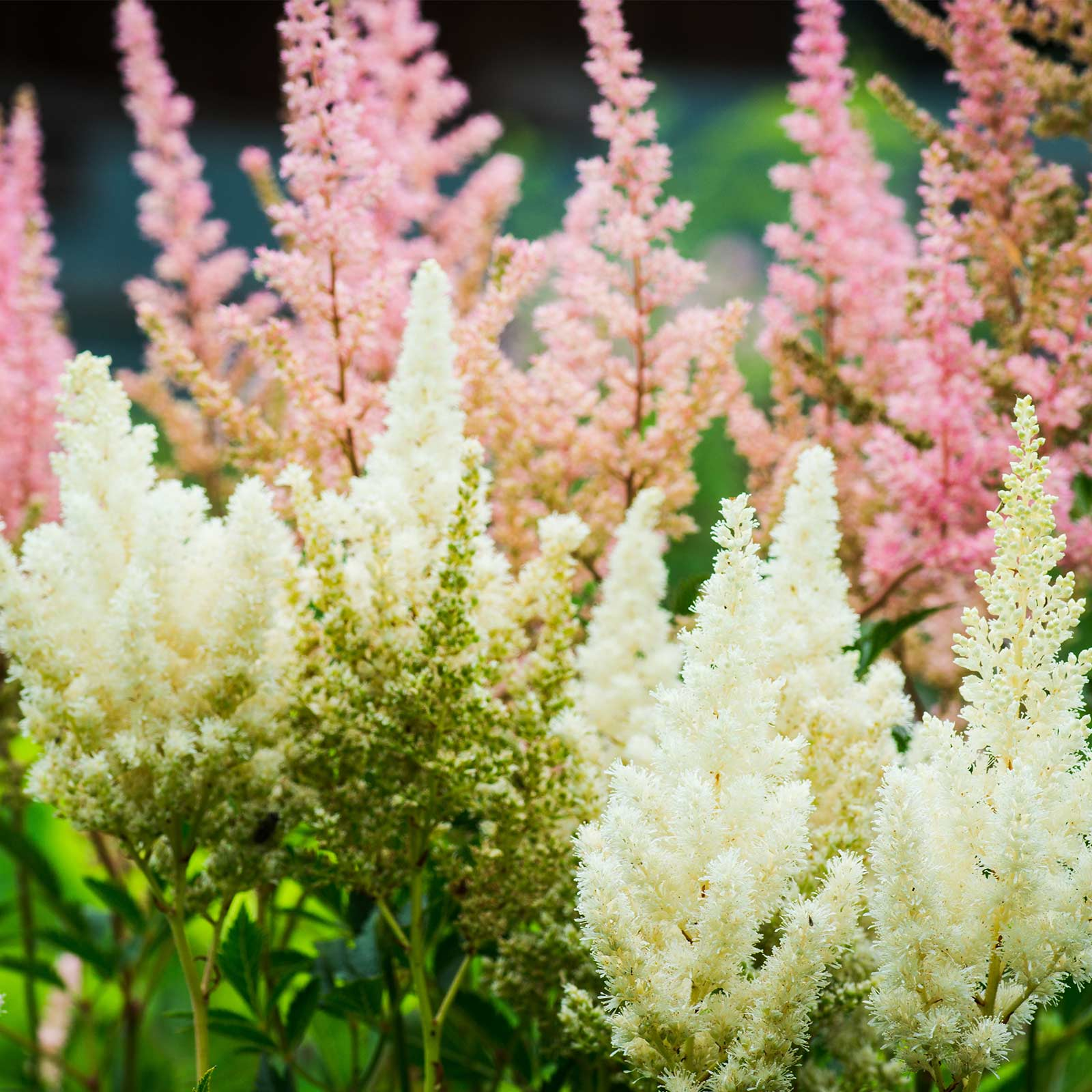 Astilbe Showstar Flower Garden Seed Mix 100 Seeds Perennial