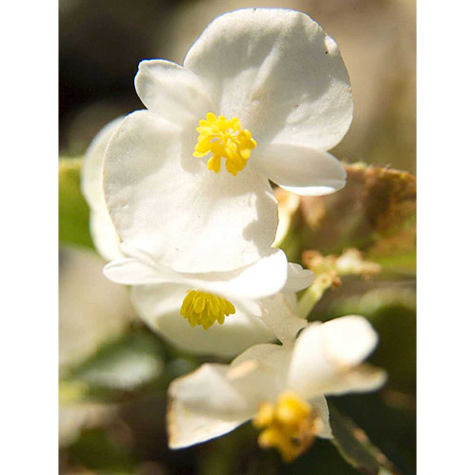 Fibrous Begonia Cocktail Flower Whiskey White 1000 Pelleted