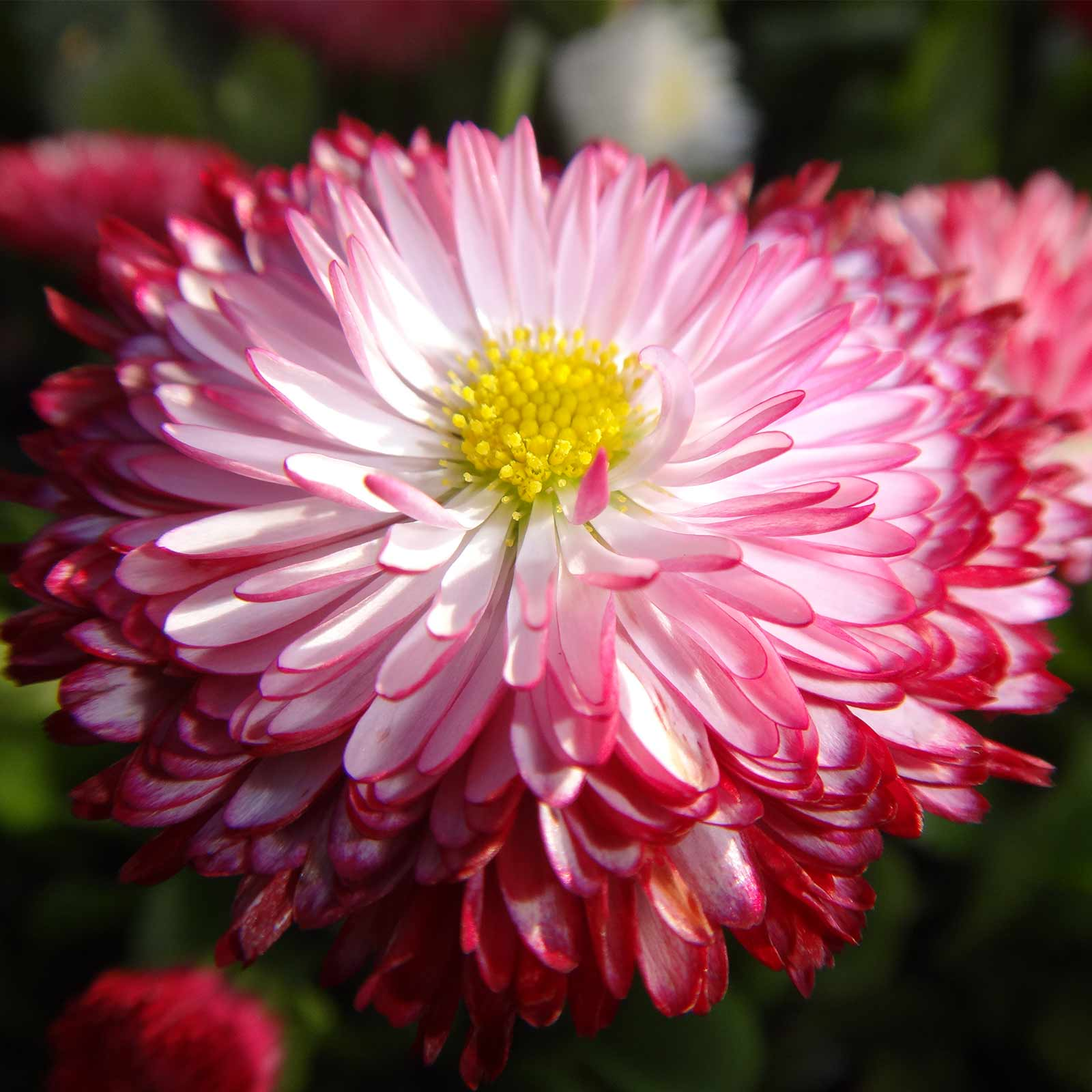 Bellis English Daisy Habanera Mix 1000 Flower Seeds Mix
