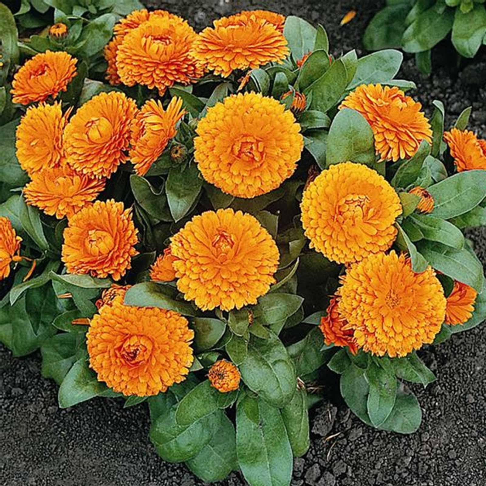 Calendula Flower Bon Bon Series Orange 1000 Seeds Annual