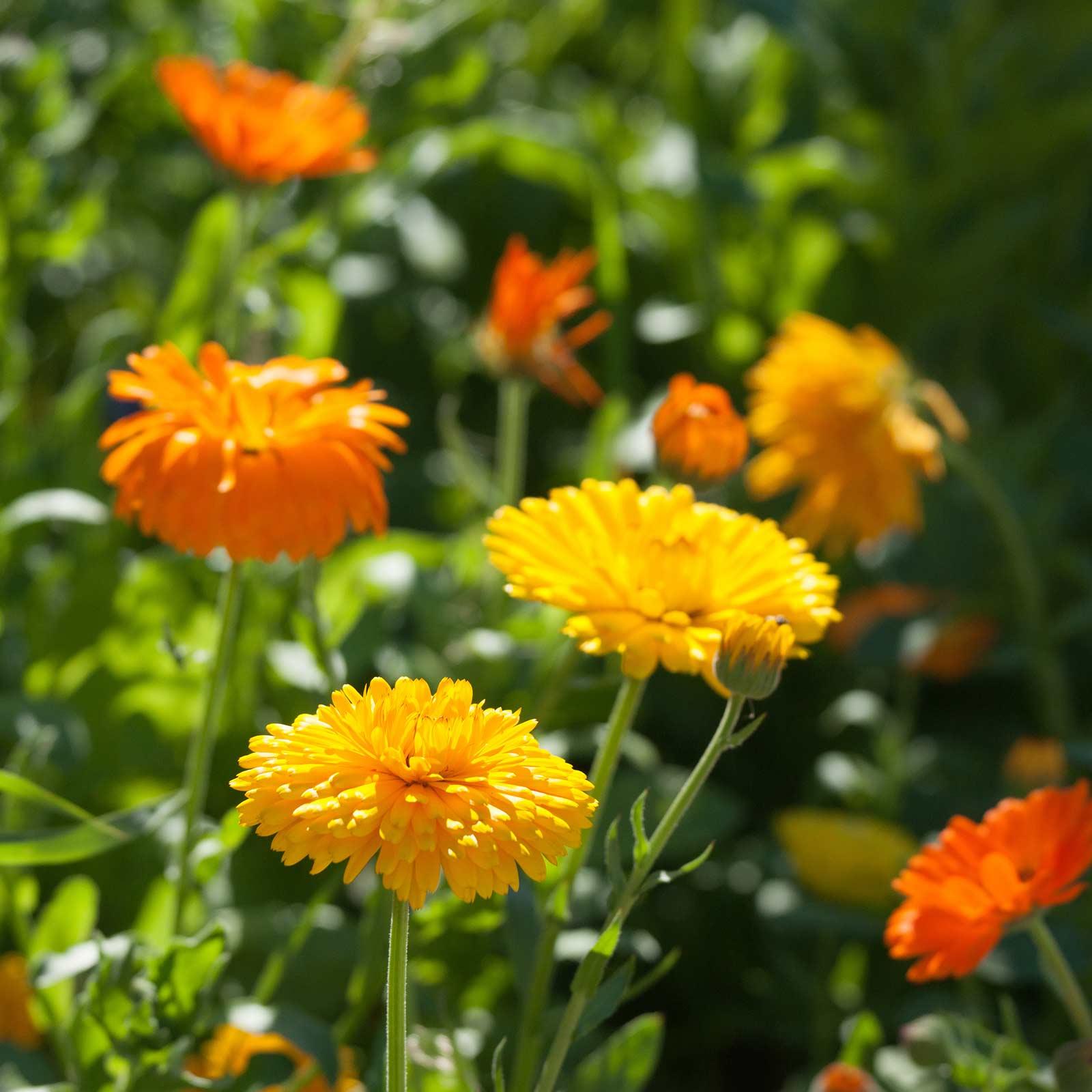 Calendula flower seeds bon bon series mix 1000 seeds annual calendula flower seeds bon bon series mix 1000 seeds annual garden izmirmasajfo