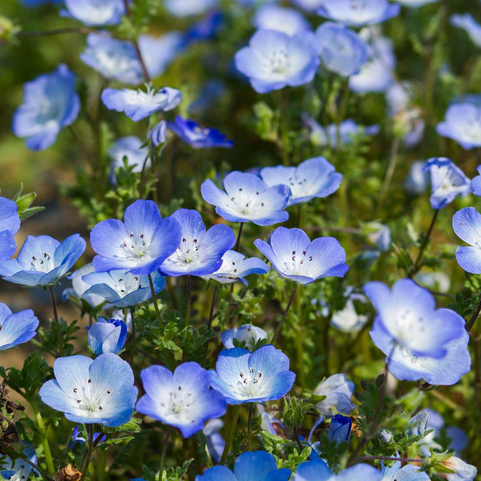 California Bluebells Flower Seeds 1 Oz Annual Wildflower Garden
