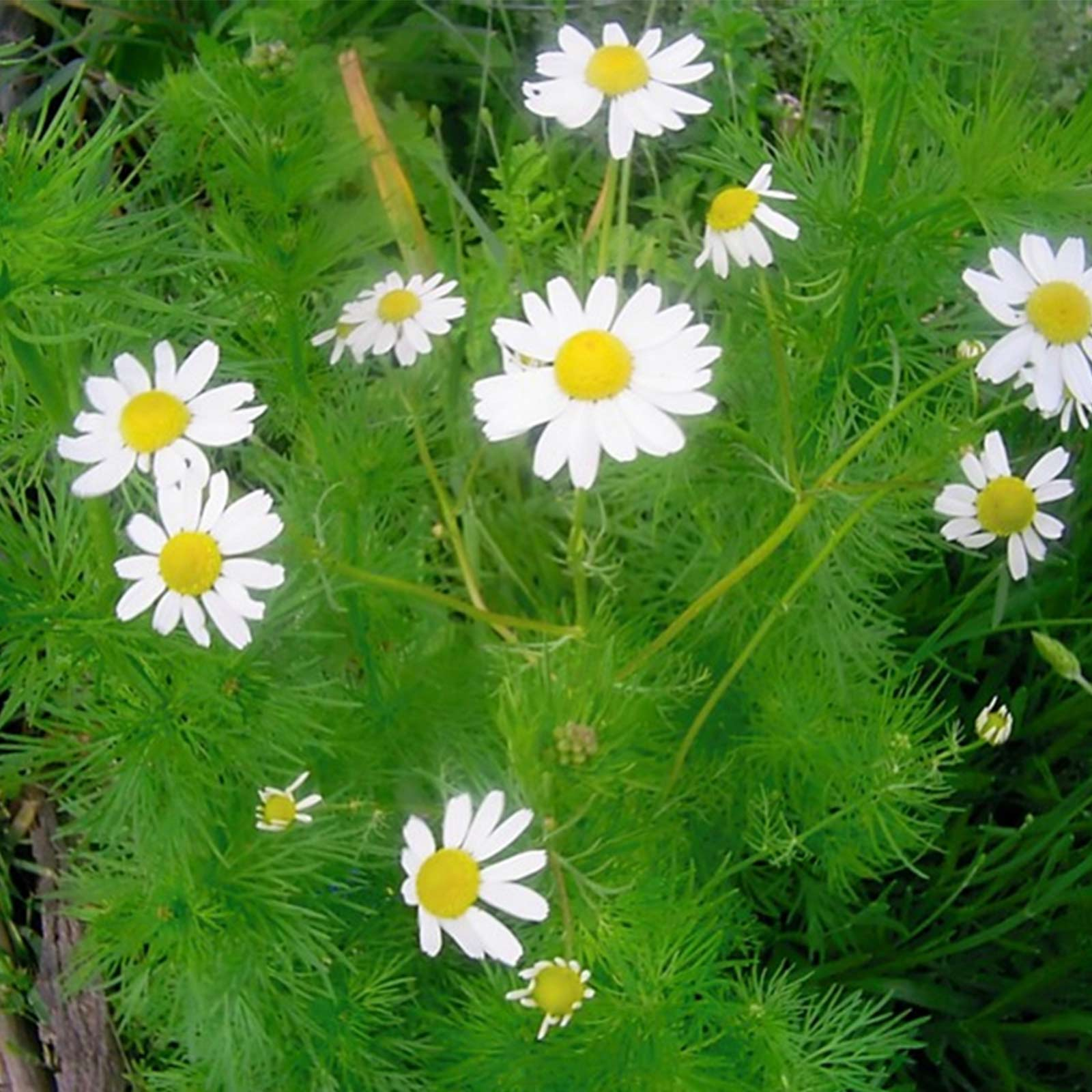 German chamomile herb seeds 1 lb heirloom garden microgreens these apple scented plants produce herbs used commercially for chamomile tea it is a very prolific producer of small daisy like flowers izmirmasajfo