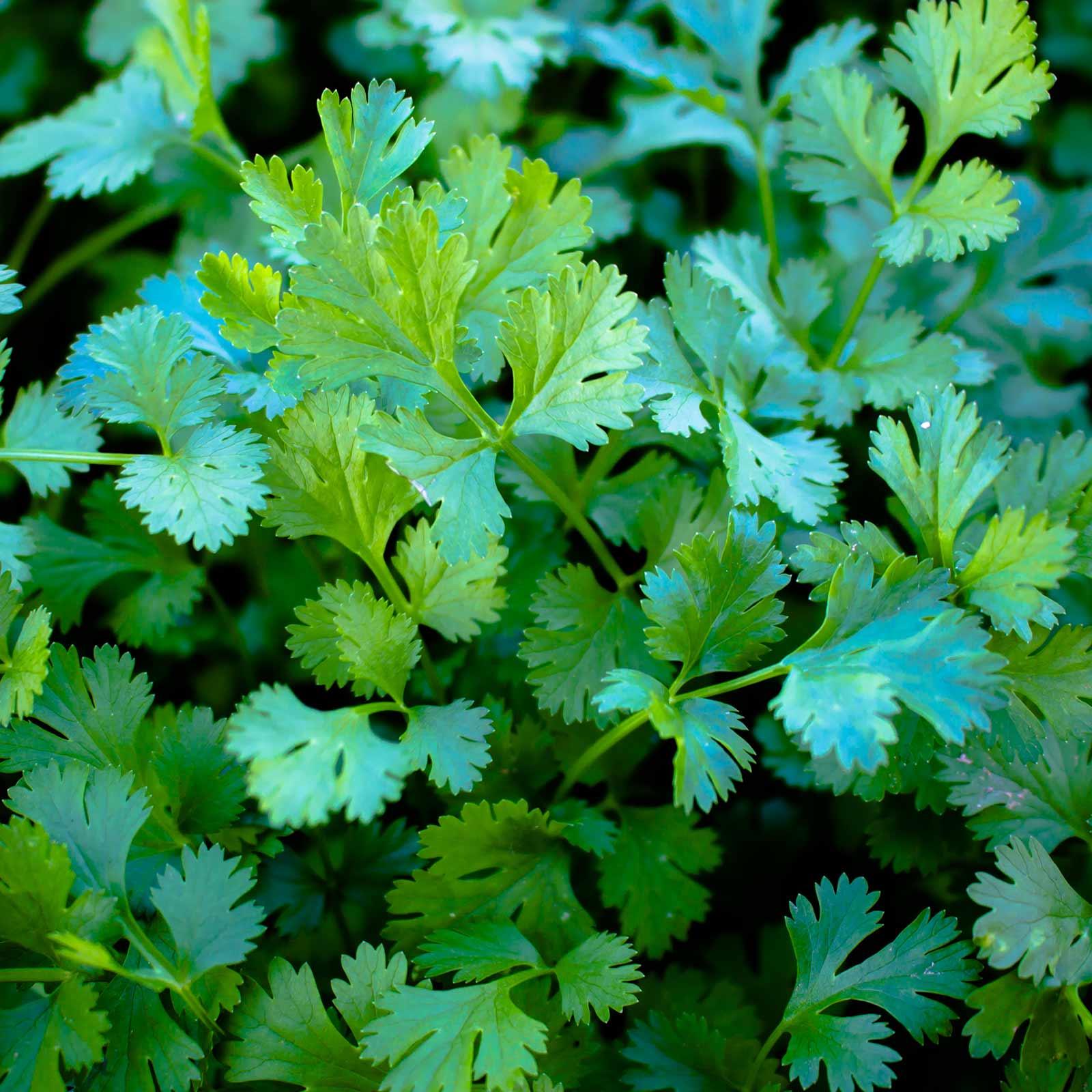 Bulk herbs wholesale - Cilantro Microgreens Seeds 25 Lb Seed Bulk Wholesale Herbs
