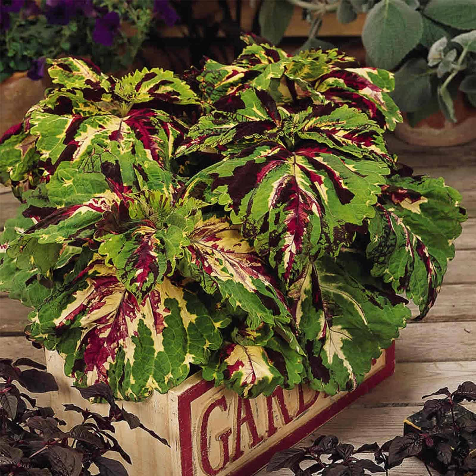 Kong Series Coleus-Mosaic -100 Seeds-Ornamental House & Garden Plant ...