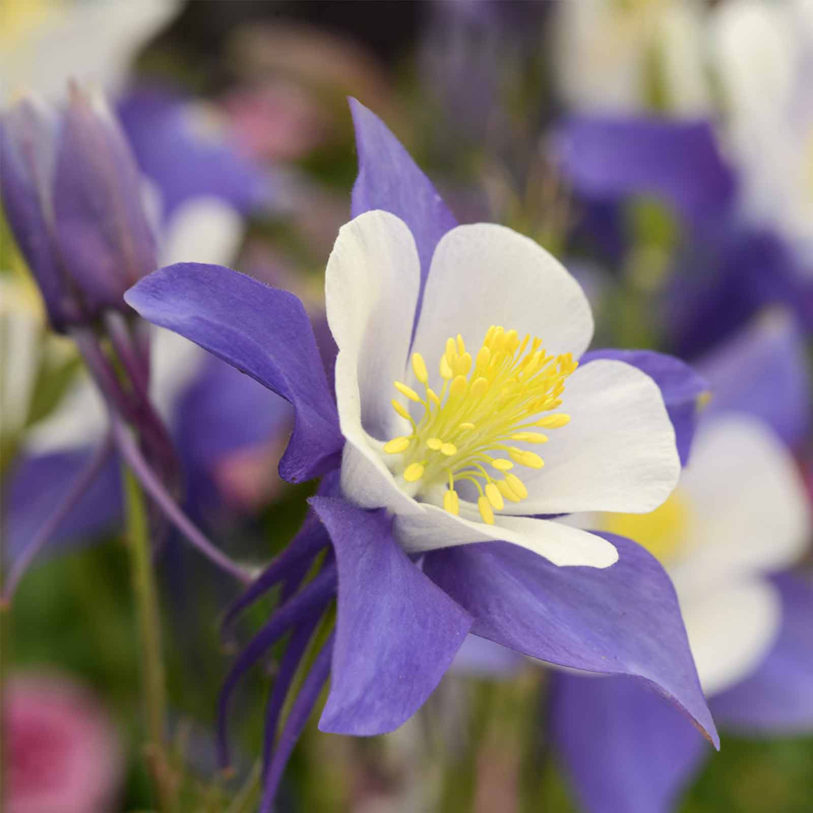 Blue White Swan Columbine 100 Seeds Perennial Flower Garden