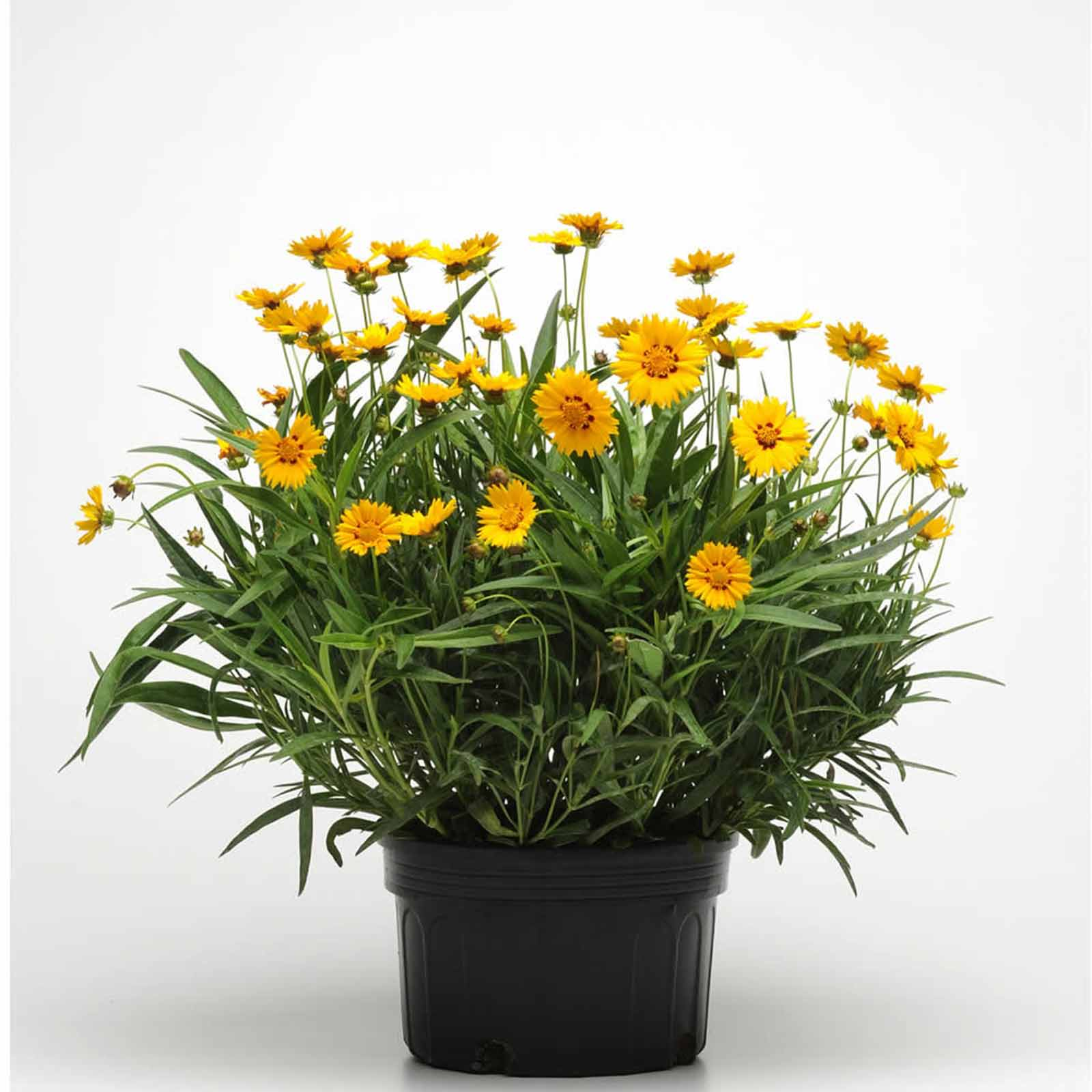 Sunfire coreopsis flower seeds 1000 seeds perennial flower fleuroselect quality mark winner 2006 shows off large single yellow blooms with burgundy red centers flowers first year from febmarch sowing izmirmasajfo