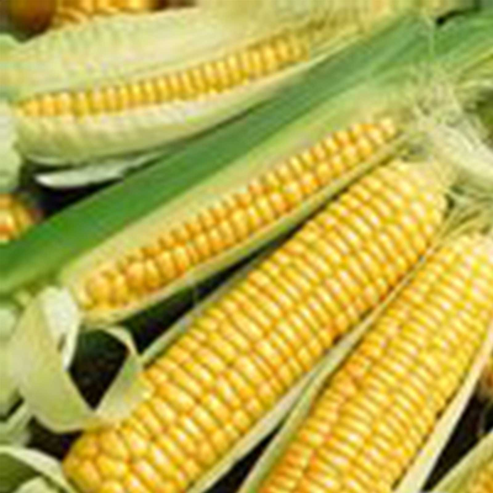 Sweet corn varieties days to maturity