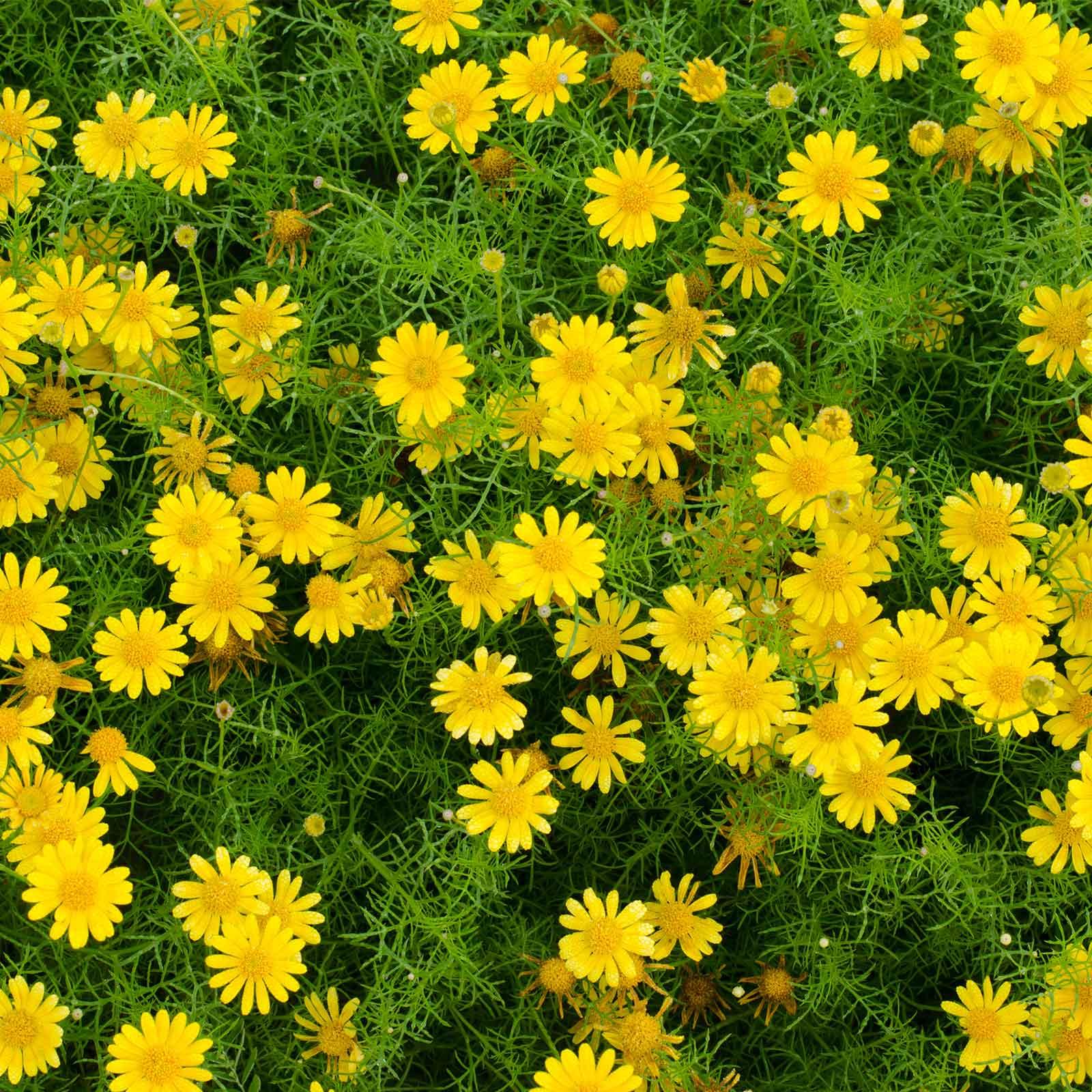 Golden Fleece Dahlberg Daisy Flower Seeds 1000 Seeds Annual
