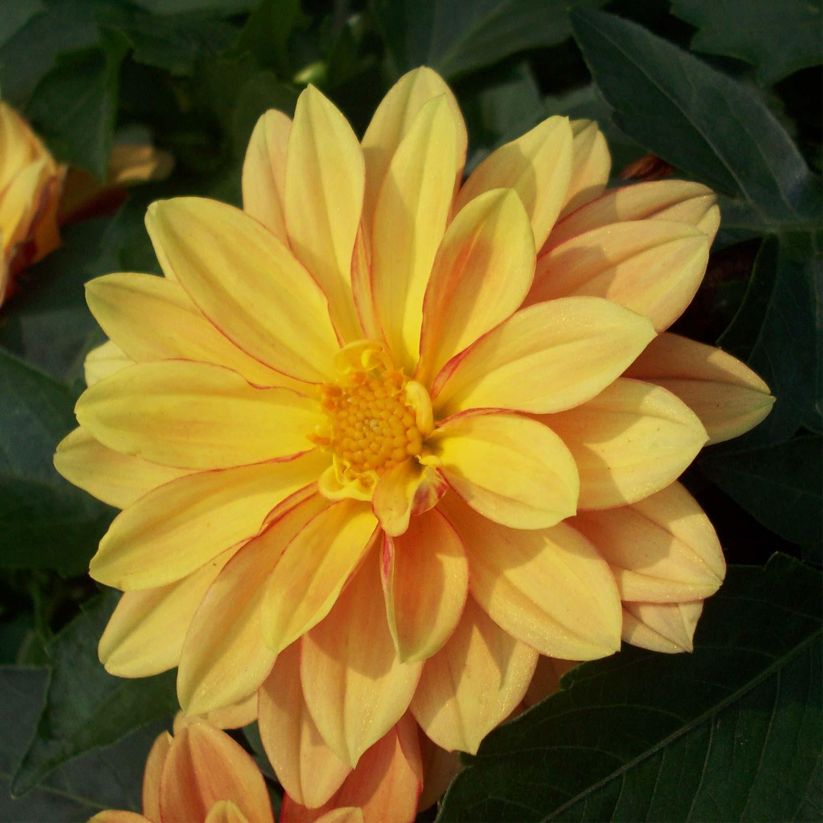 Figaro Series Dahlia Flower Seed Orange Shades 500 Seeds