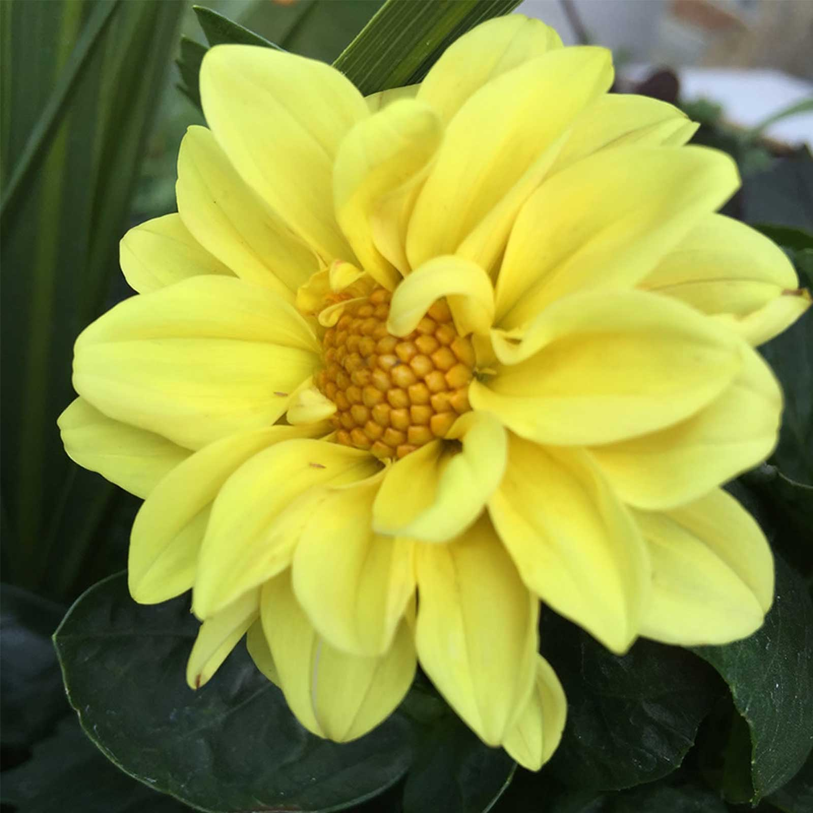 Figaro series dahlia flower seed yellow shades 500 seeds figaro series dahlia flower seed yellow shades 500 seeds annual izmirmasajfo