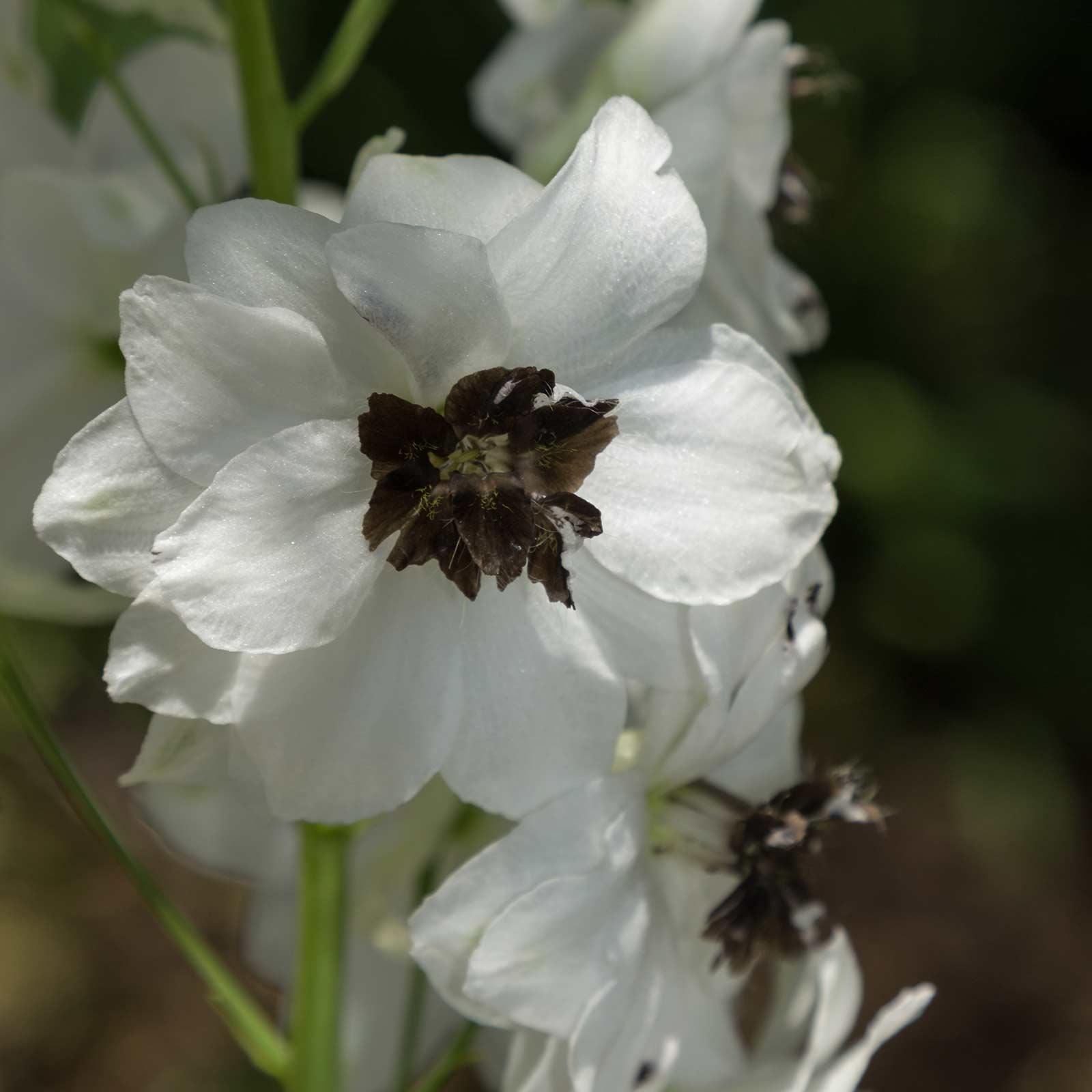 Delphinium Magic Fountain Series Flower Seeds White Dark Bee Non