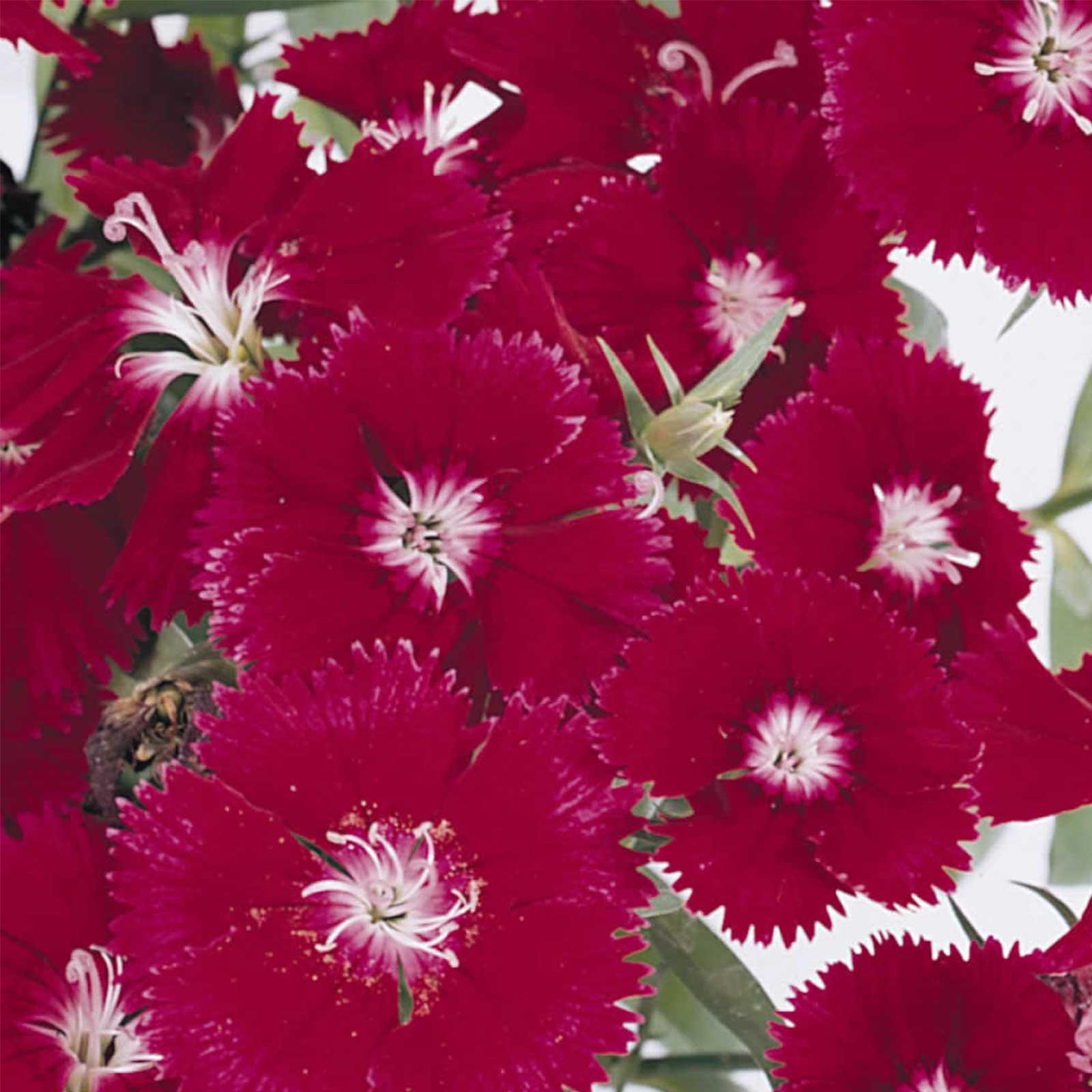 Dianthus Floral Lace Series Flower Seeds Crimson 500 Seeds
