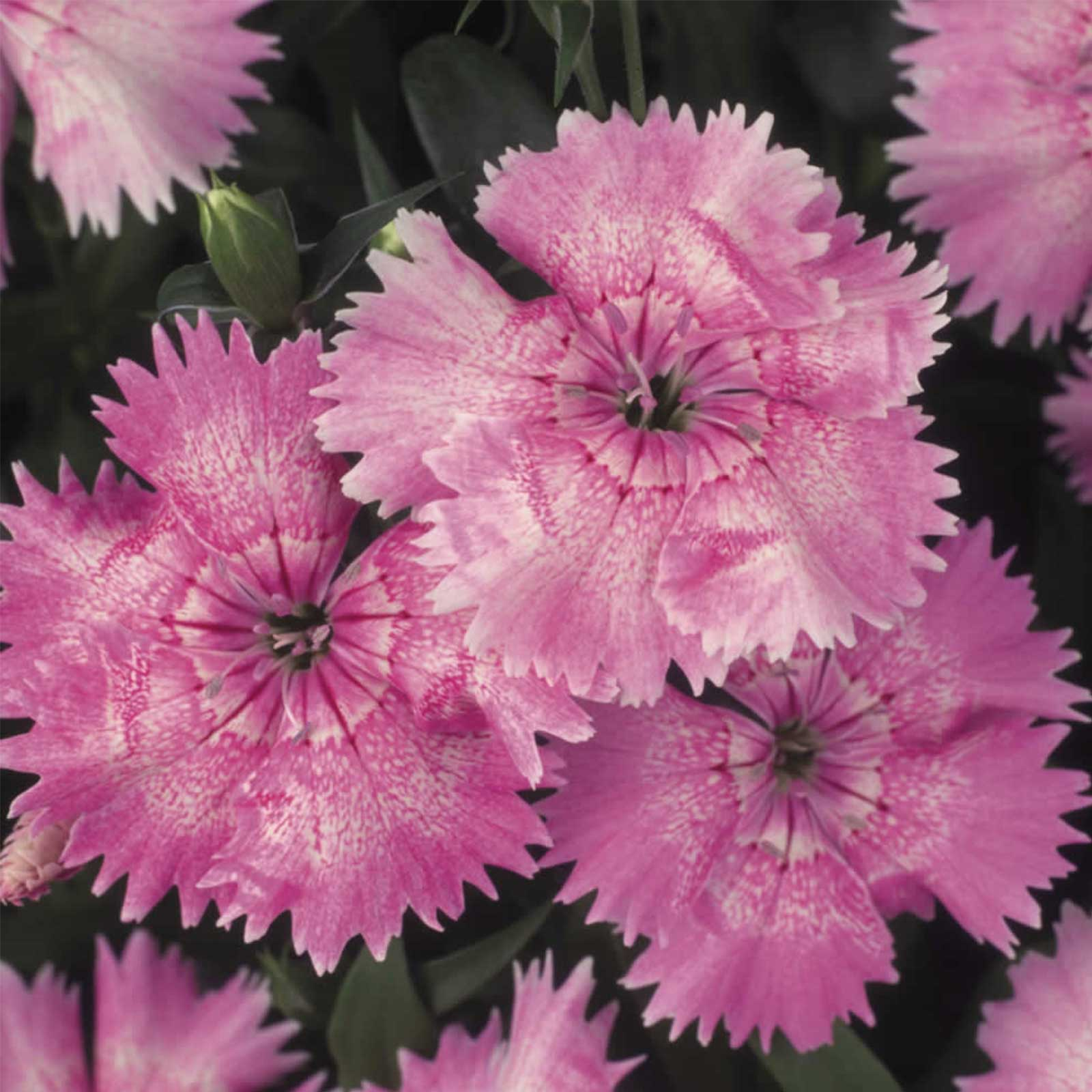 Dianthus Floral Lace Series Flower Seeds Light Pink 100 Seeds Annual