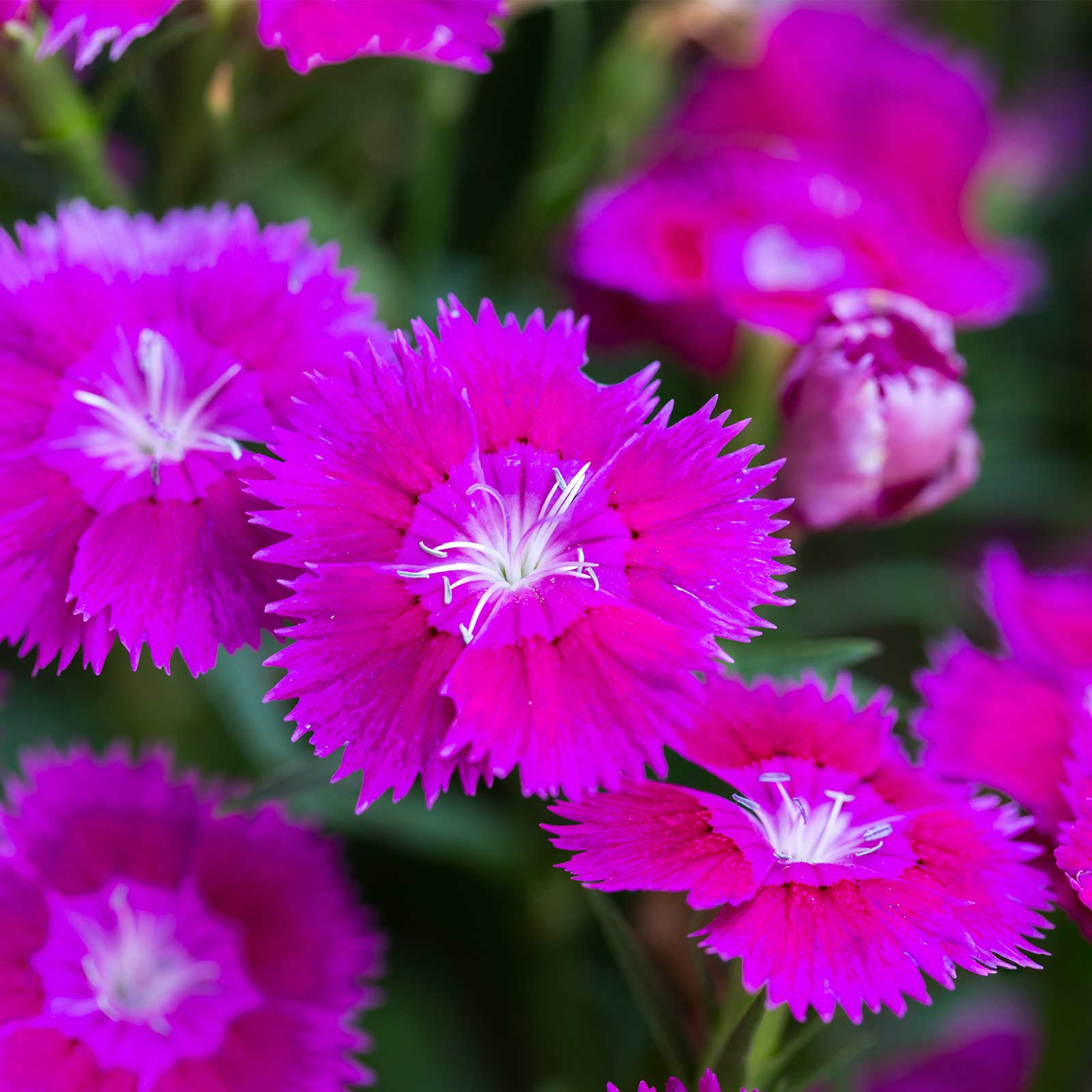 Dianthus Floral Lace Series Flower Seeds Lilac 500 Seeds