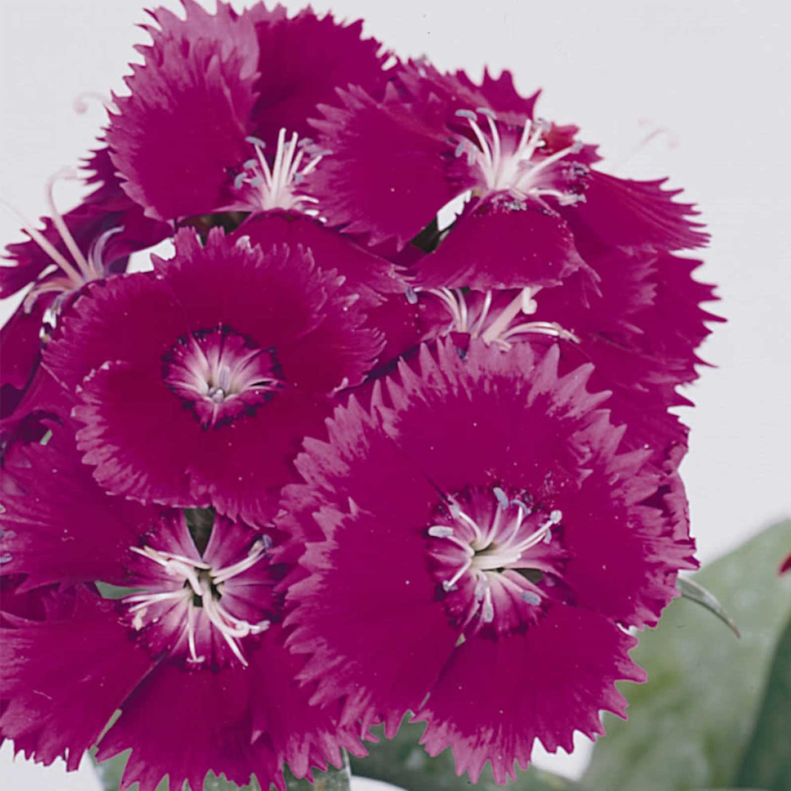 Dianthus Floral Lace Series Flower Seeds Purple 500 Seeds