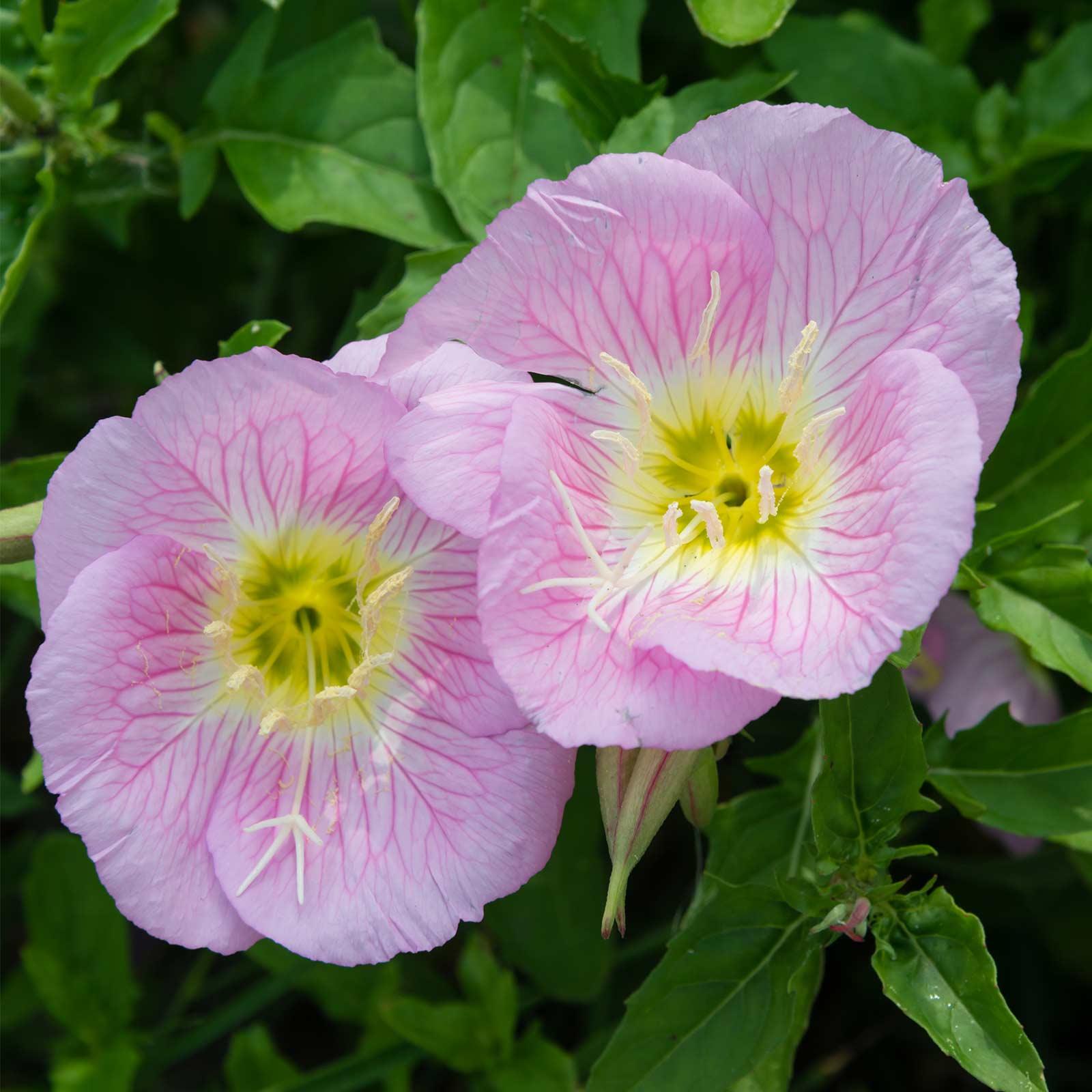 Showy Evening Primrose Wildflower Gardening Seeds 4 Oz Wild