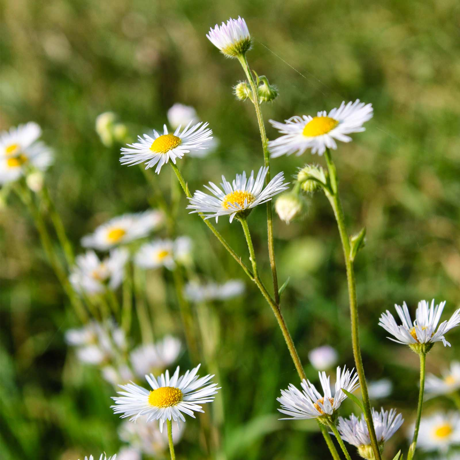Fleabane Daisy Wildflower Garden Seeds 1 Oz Wild Flower