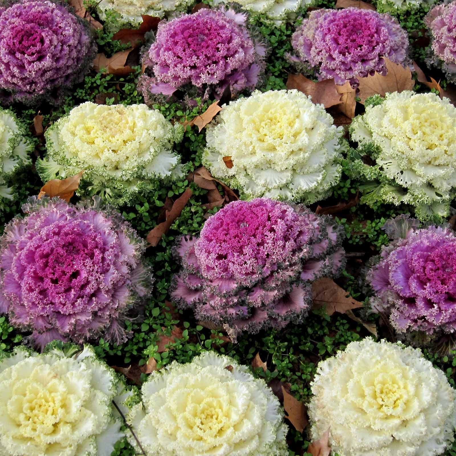 Dynasty Series Osaka Flowering Cabbage Garden Seed Mix 1000