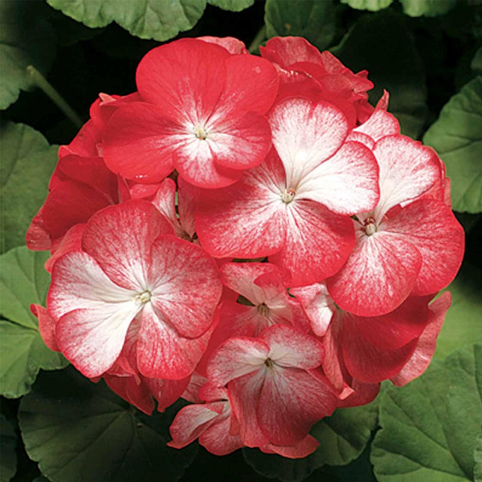 Pinto Premium F1 Series Geranium Flower Garden Seeds – Orange Bi ...