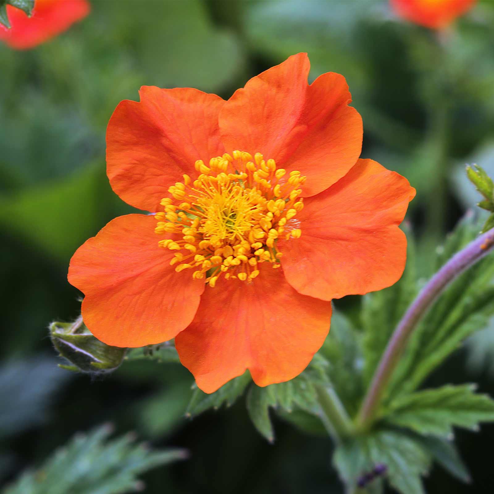 Mrs bradshaw geum flower garden seeds 1000 seeds perennial mrs bradshaw geum flower garden seeds 1000 seeds perennial mightylinksfo