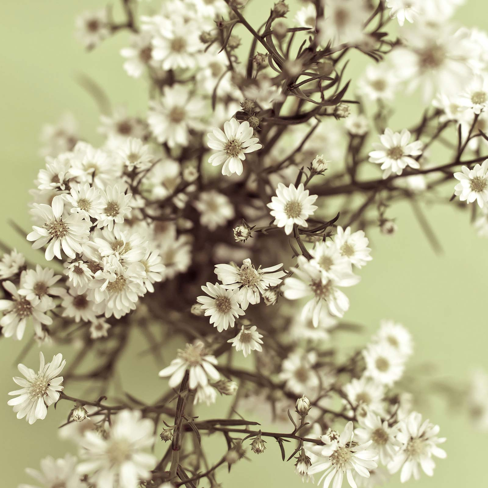 Covent garden gypsophila seeds babys breath 1 oz annual gypsophila elegens small white single flowers on multi branching slender stems annual approximately 10800 seedsoz izmirmasajfo