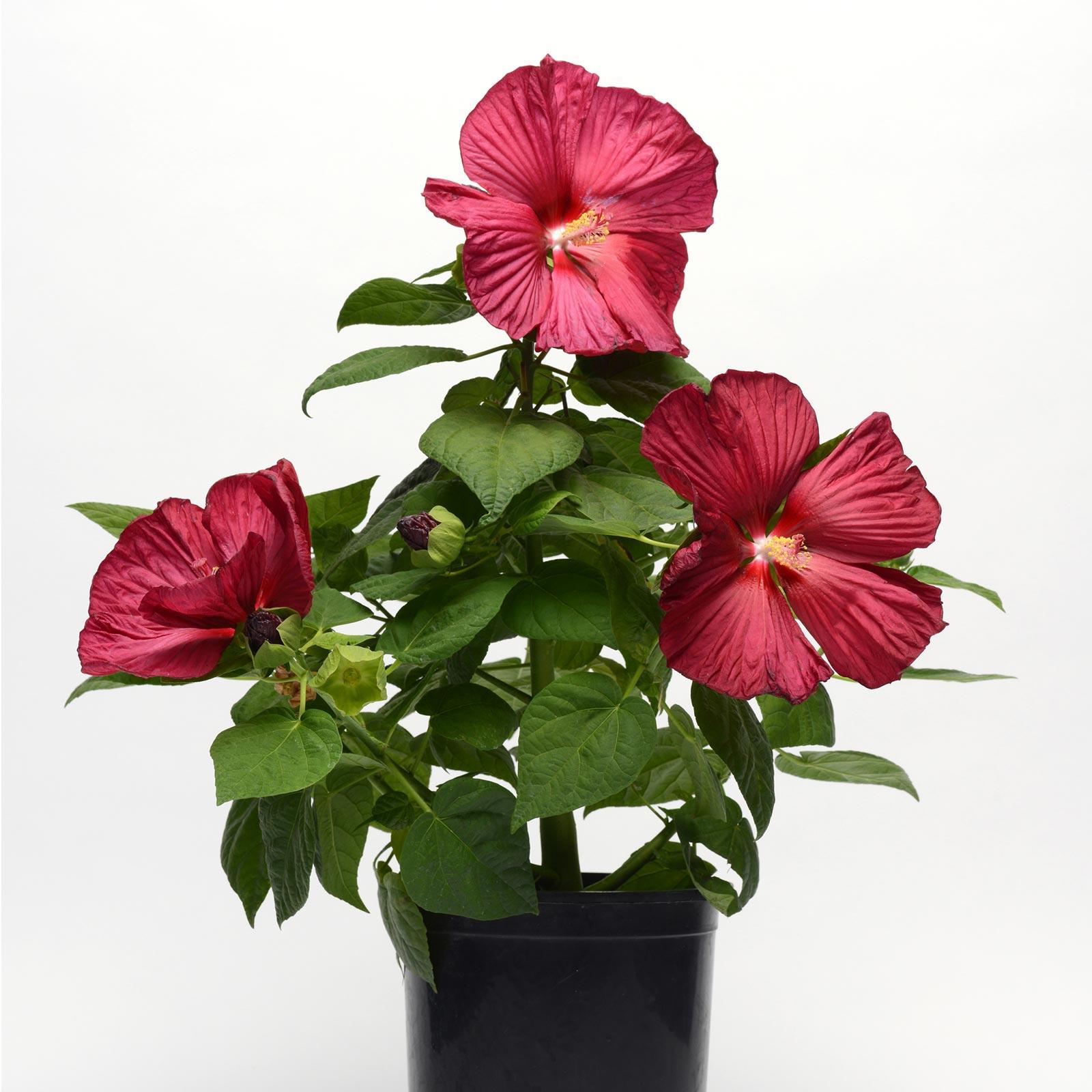 Luna Series F1 Hibiscus Flower Garden Seeds Red Improved 100