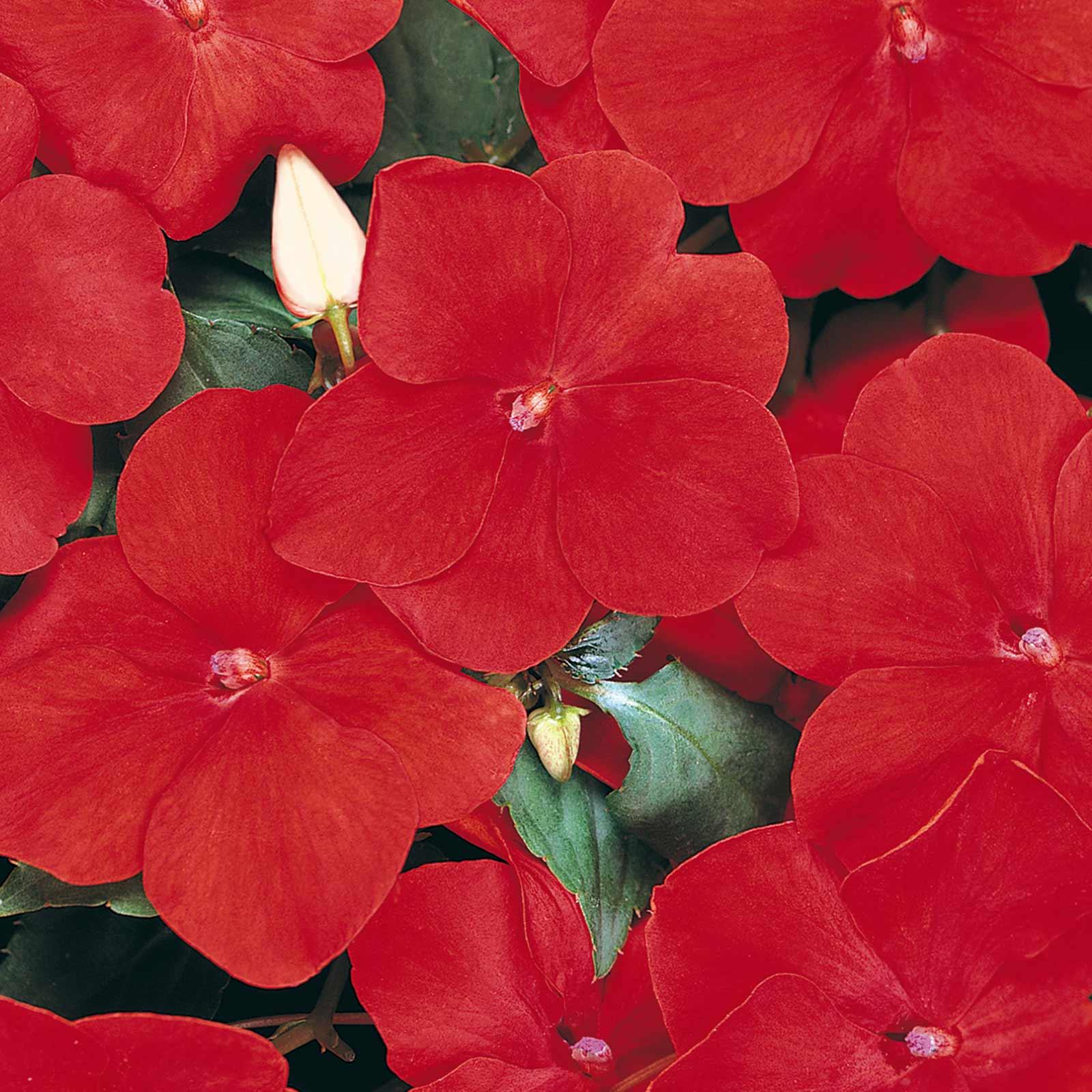 Impatiens Flower Garden Seeds F1 Dazzler Series Red 500 Seeds