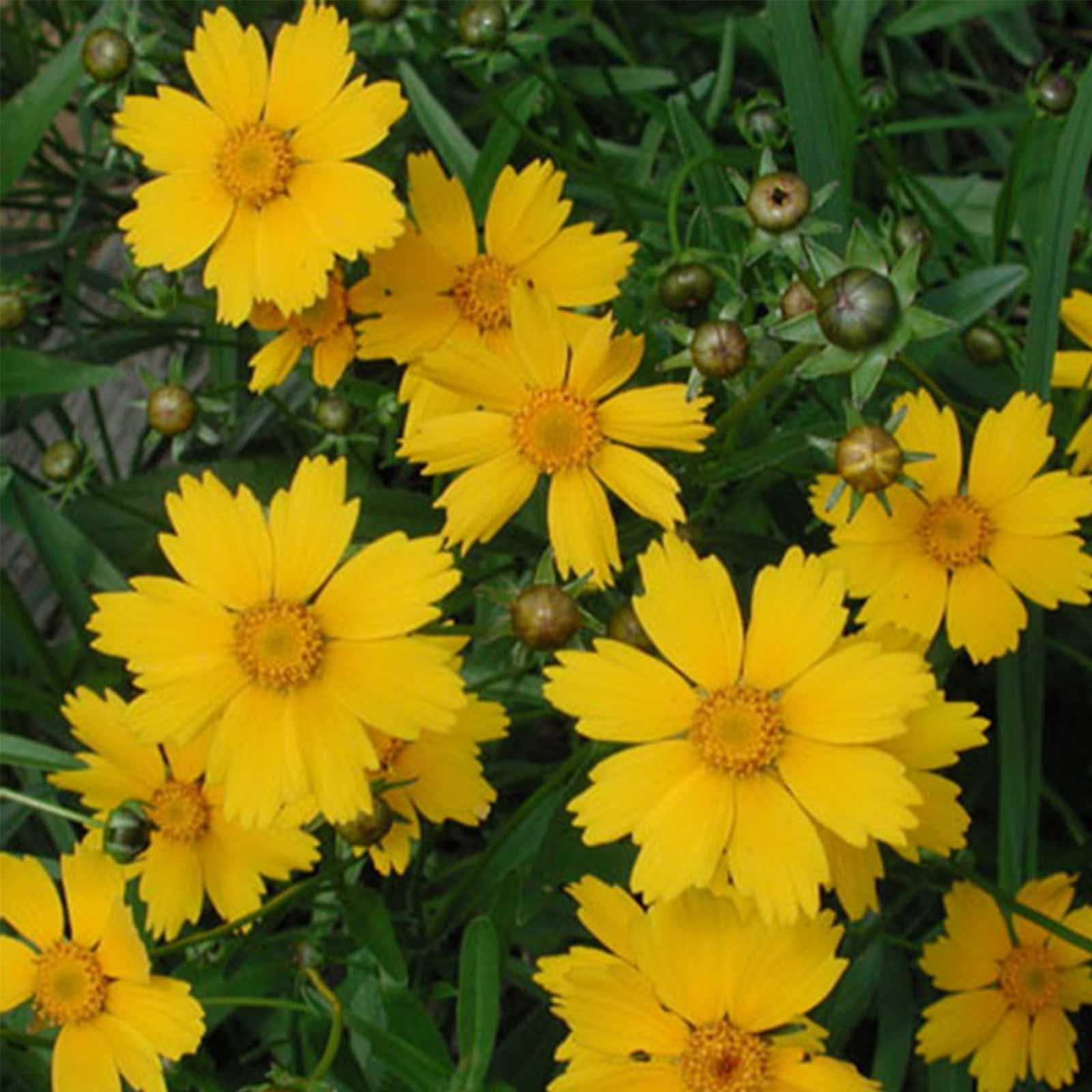 Lanceleaf coreopsis flower garden seeds 4 oz perennial gardening coreopsis lanceolata low to moderate water requirement full sun to partial shade a perennial wild flower with solitary yellow daisy like flower blooming izmirmasajfo