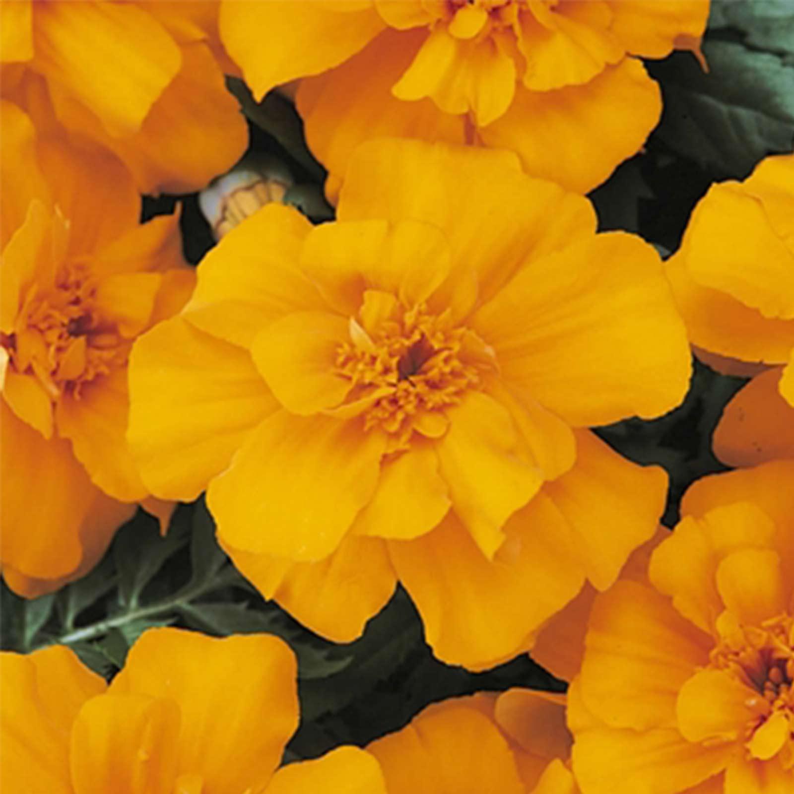 French Marigold Flower Garden Seeds Durango Series Orange Non