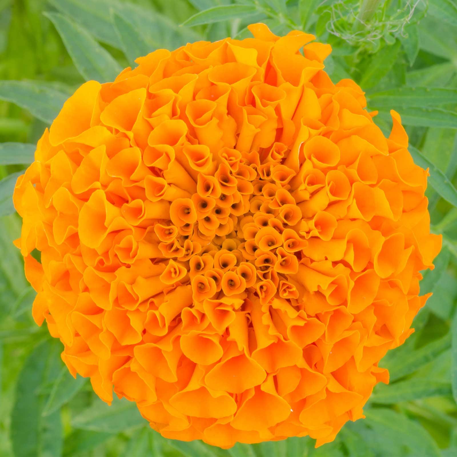 African Marigold Flower Garden Seeds Lady Series F1 Orange 1000 Seed
