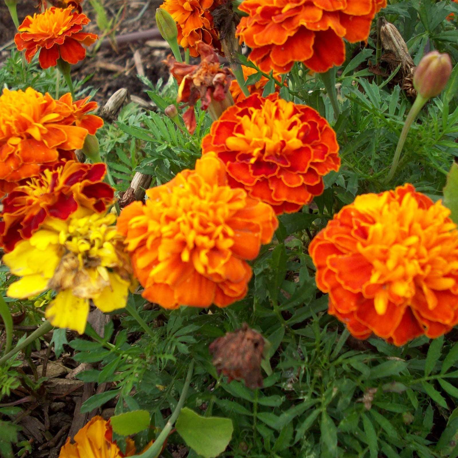 French Marigold Flower Garden Seeds Petite Mixture 1 Lb Annual