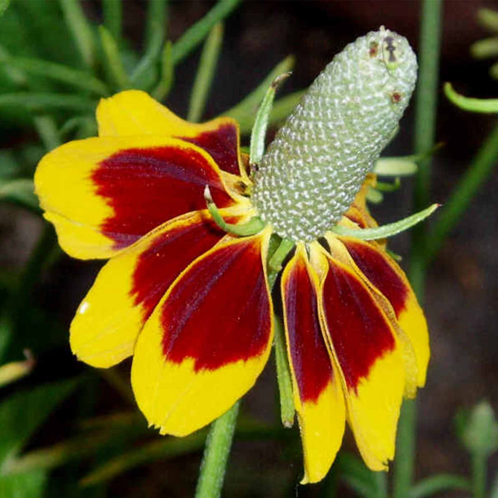 Mexican Hat Wild Flower Garden Seeds 4 Oz Perennial Wildflower