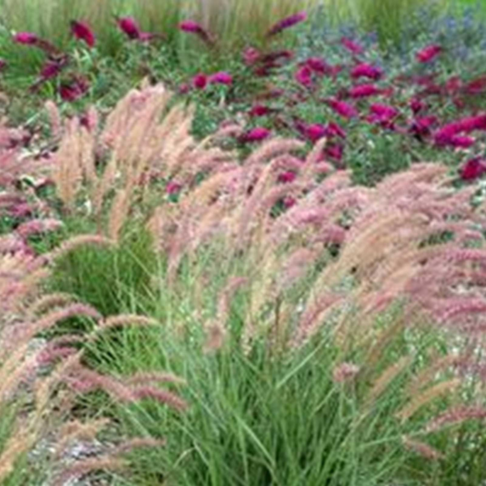 Pennisetum Fountain Grass Seeds 500 Seeds Decorative