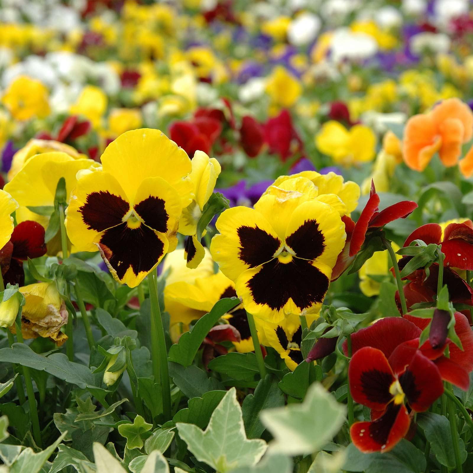 Pansy Flower Garden Seeds -Swiss Giant Mix -1 Oz -Viola x