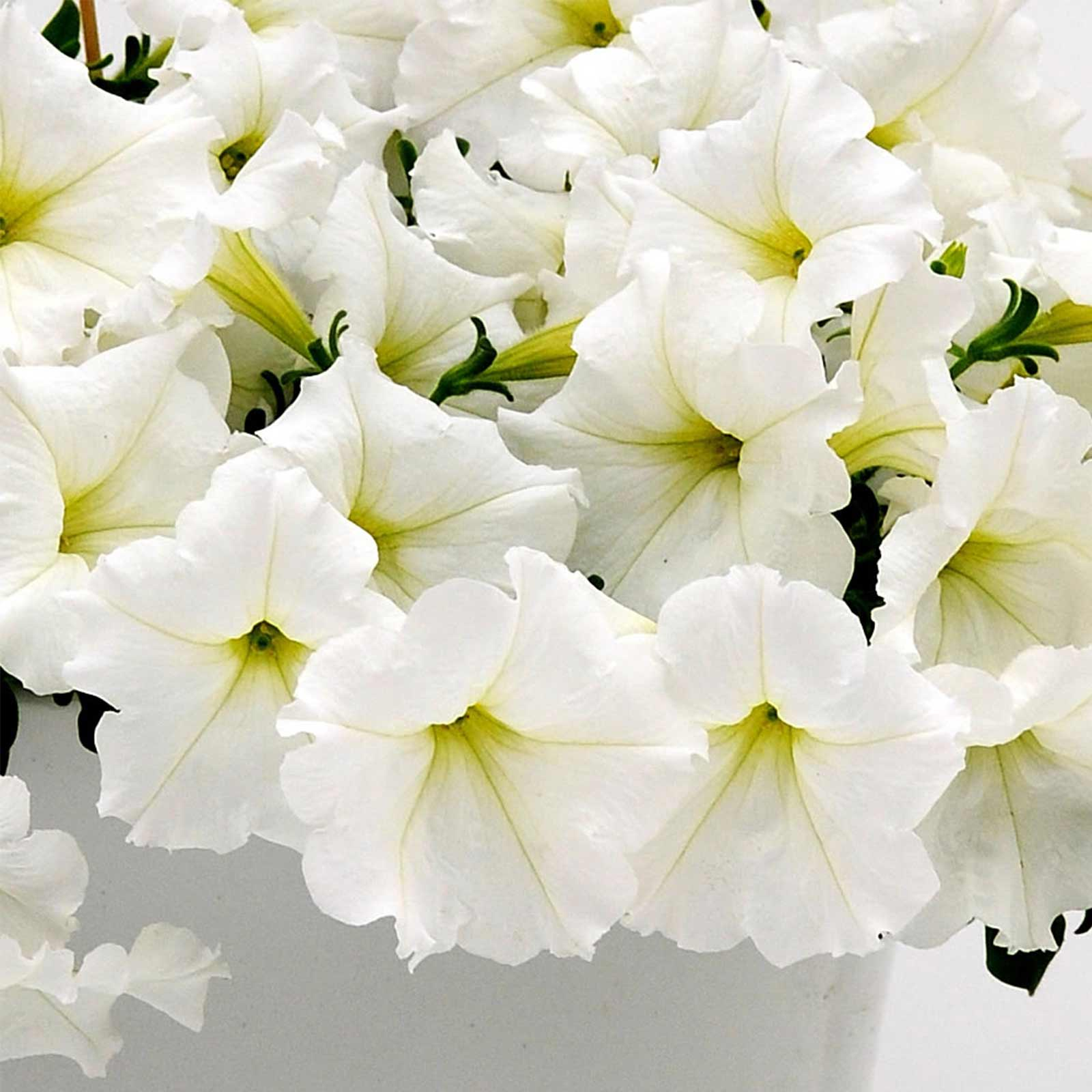 Petunia Easy Wave Flower Garden Seed Pelleted White Annual
