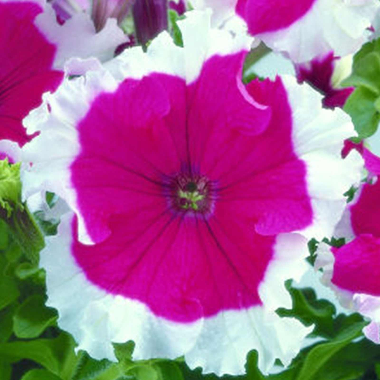 Petunia Frost Series Flower Garden Seed Pelleted Cherry