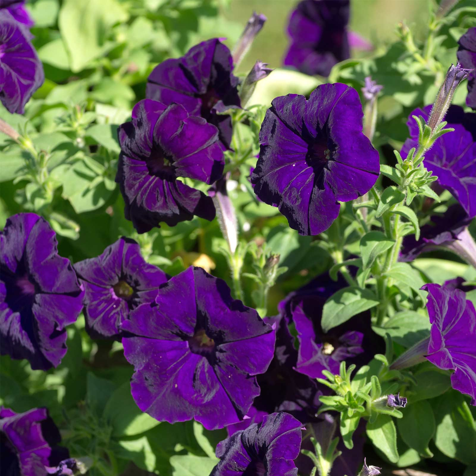 Petunia – Madness Series Flower Garden Seed – Pelleted – Deep Purple ...