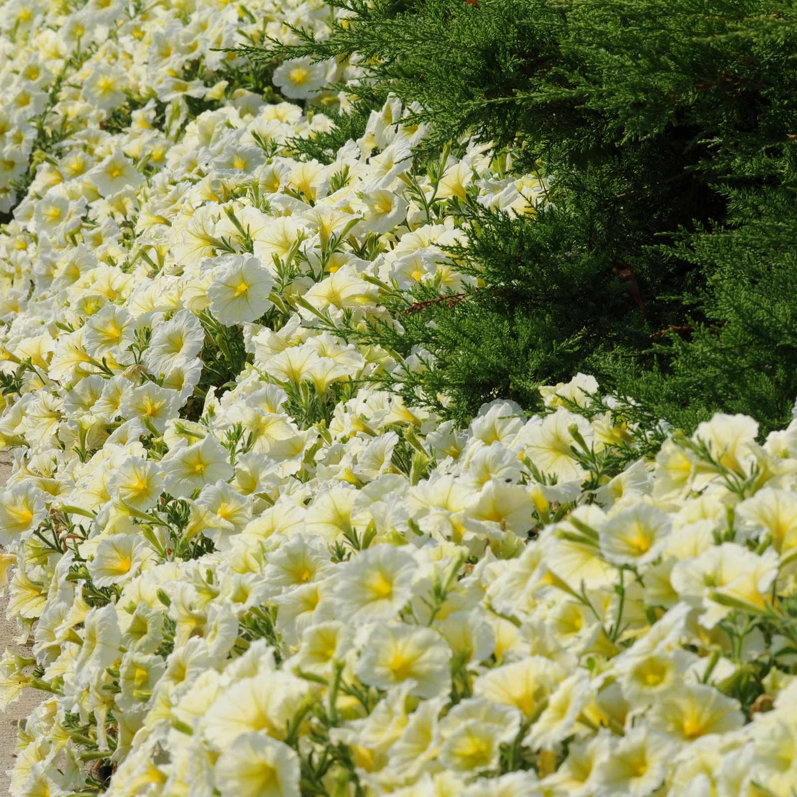 Petunia -Madness Series Flower Garden Seed -Pelleted -Yellow -Annual ...