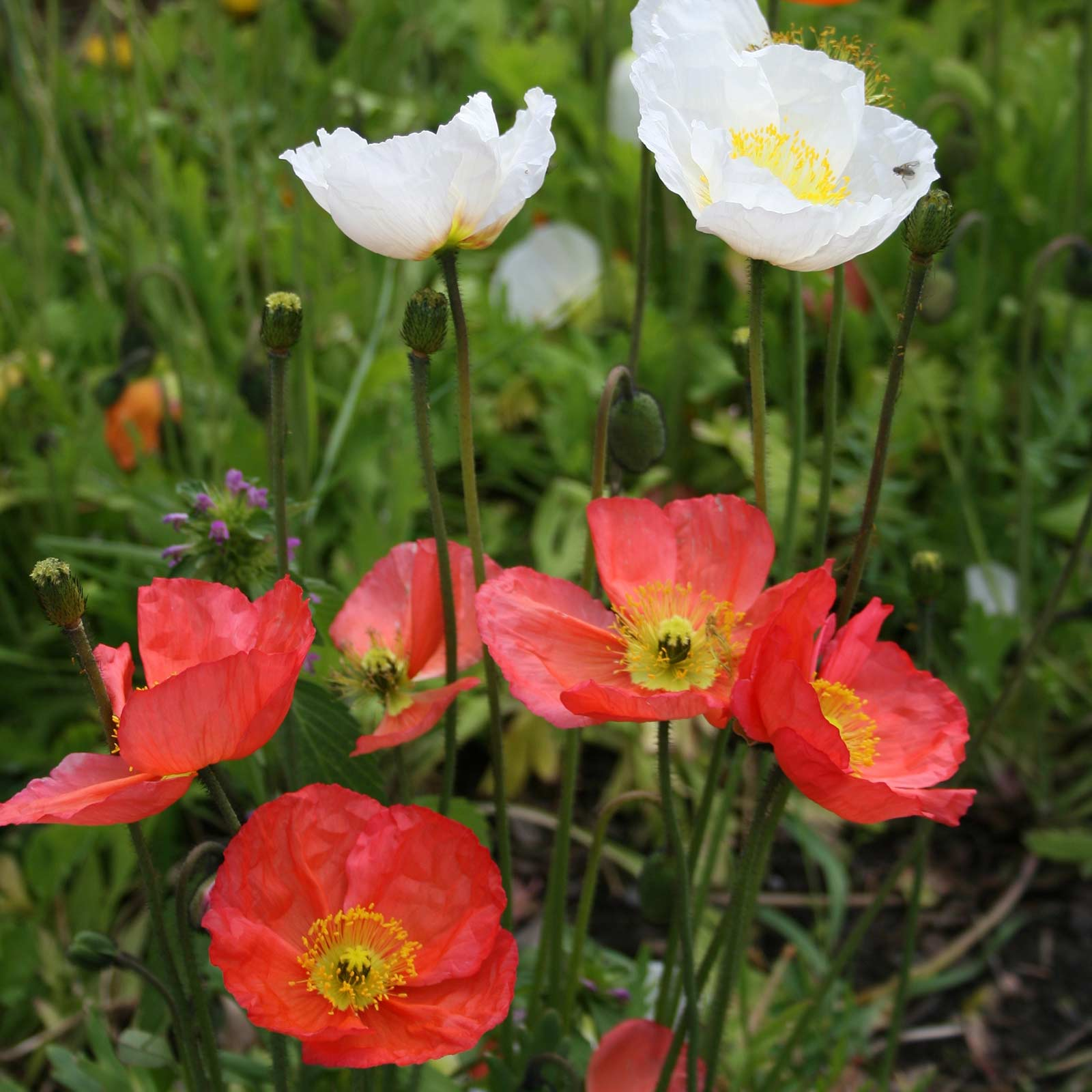 Poppy Flower Seeds Iceland Finest Mix 25 Oz Seed Annual
