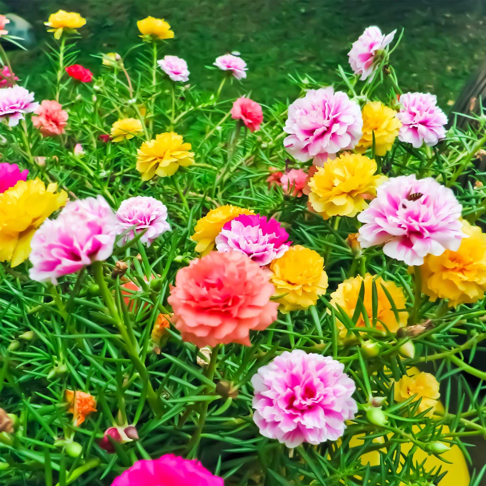Portulaca Flower Seeds – Double Mix – .25 oz – Annual Flower Gardening