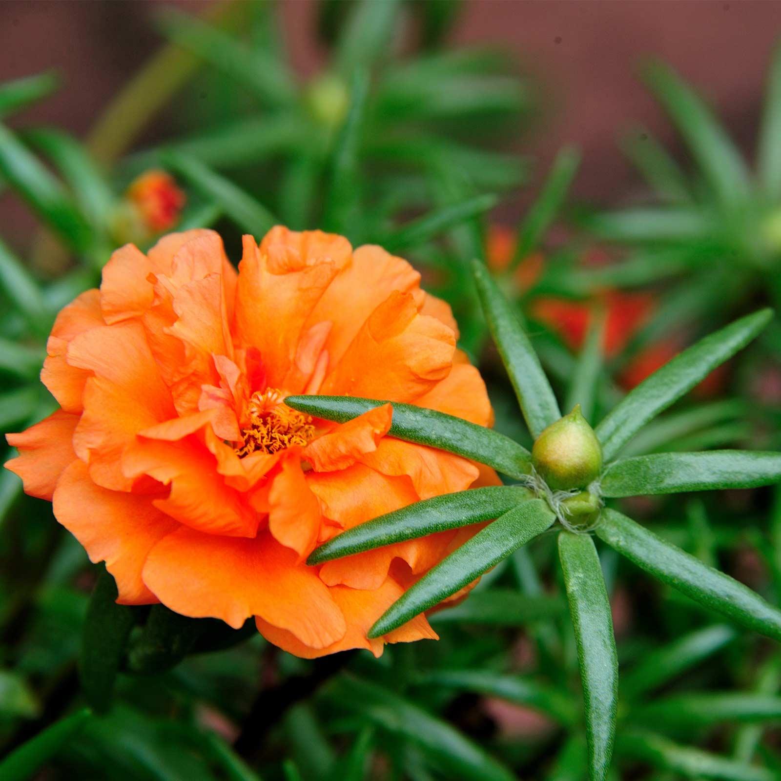 Portulaca Flower Seed Sundial Series 1000 Seeds Orange Annual