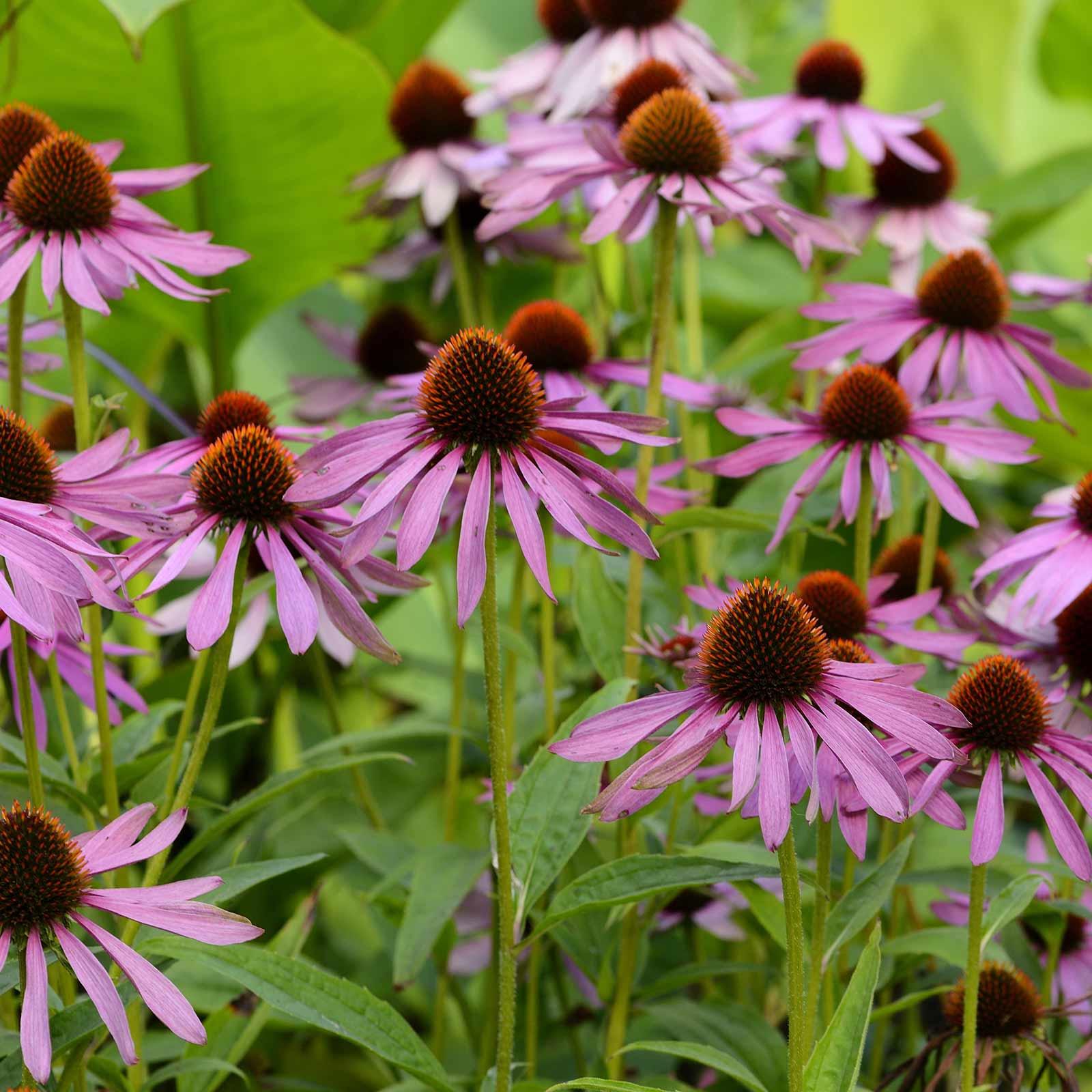 Purple Coneflower Wild Flower Seeds 1 Oz Perennial Wildflowers