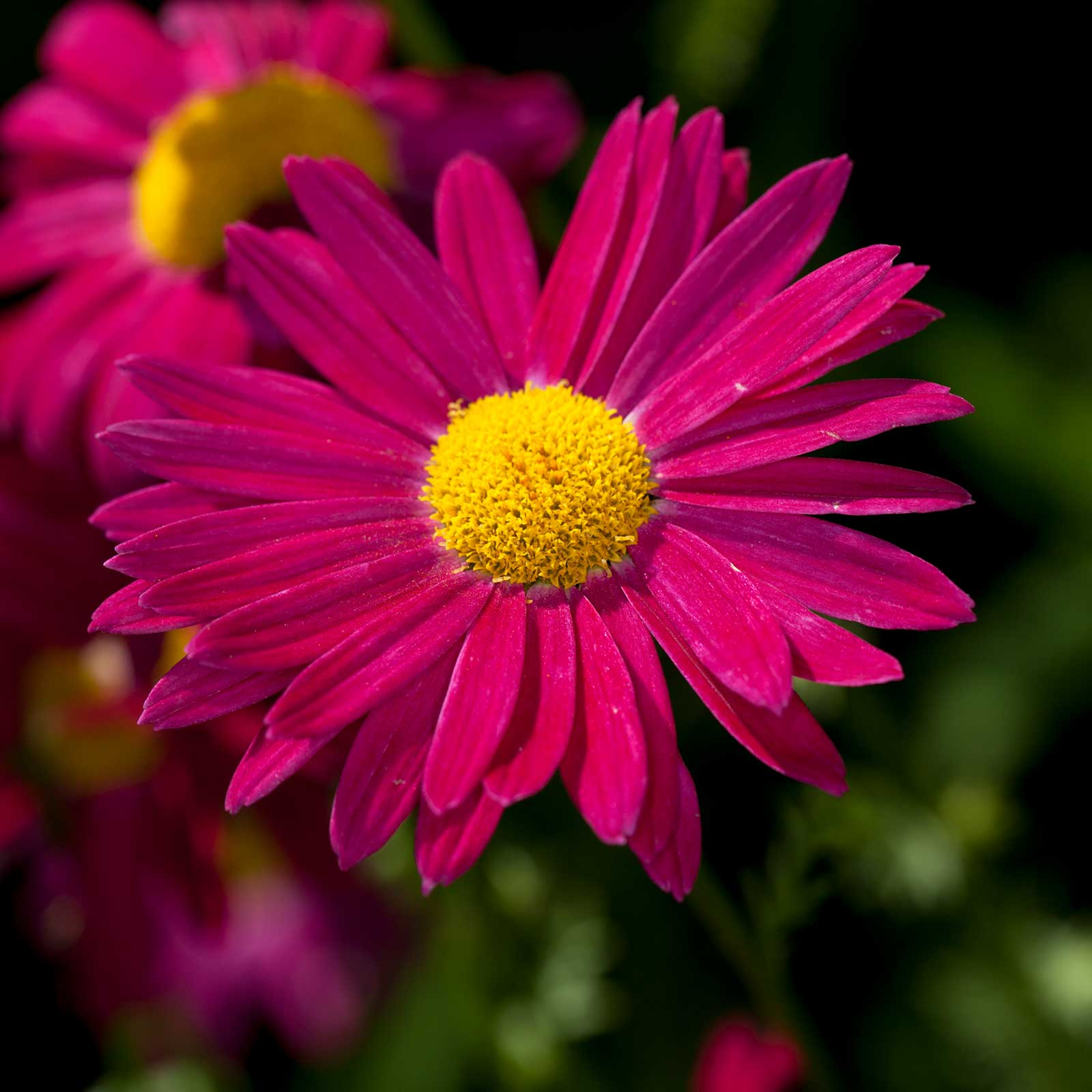 Pyrethrum flower seeds james kelway variety 100 seeds red and pyrethrum flower seeds james kelway variety 100 seeds red and gold izmirmasajfo
