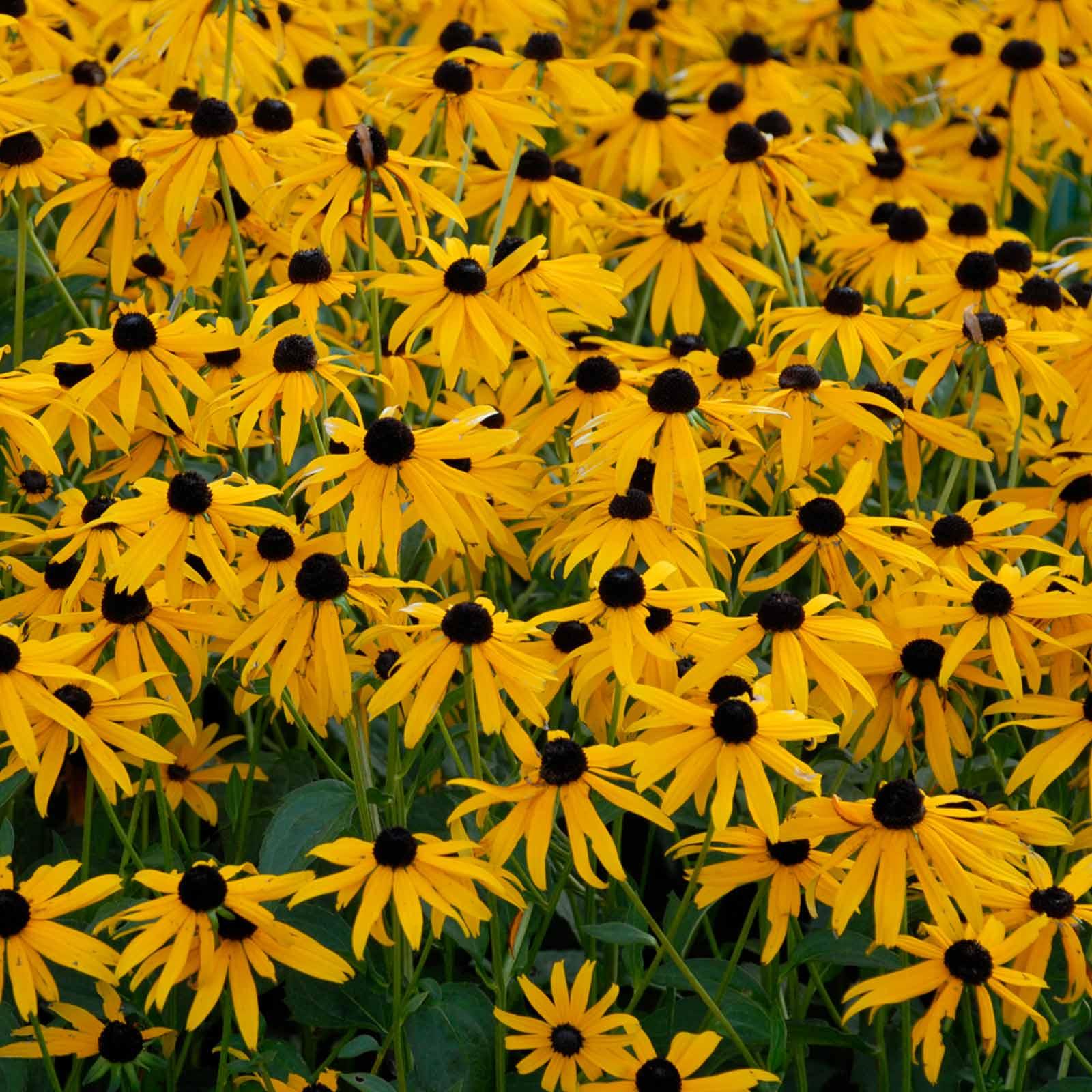 Rudbeckia Black Eyed Susan Seeds Goldsturm Sunset 500 Seeds