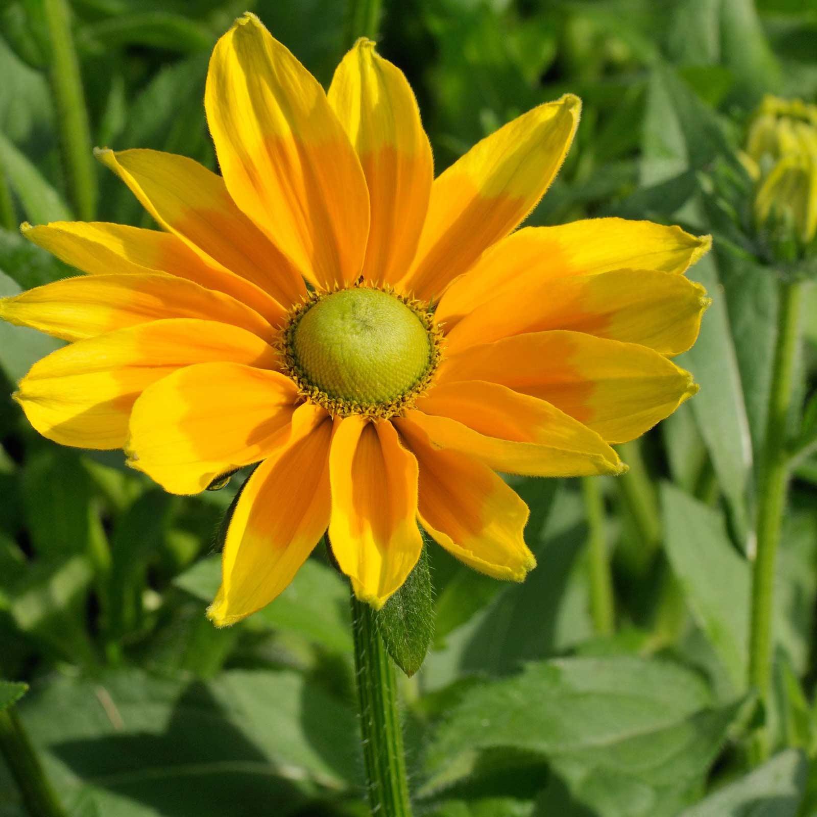Rudbeckia Black Eyed Susan Flower Seeds Irish Spring 1000