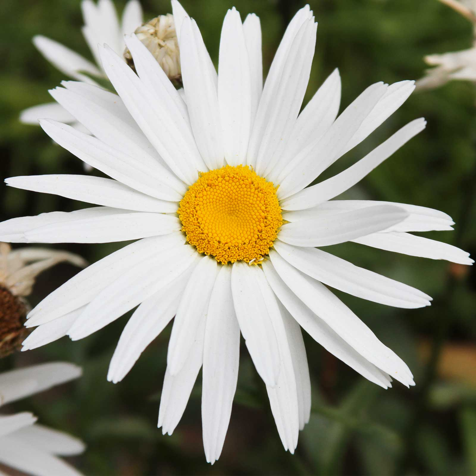 Shasta Daisy Flower Seeds Silver Princess 500 Seeds White