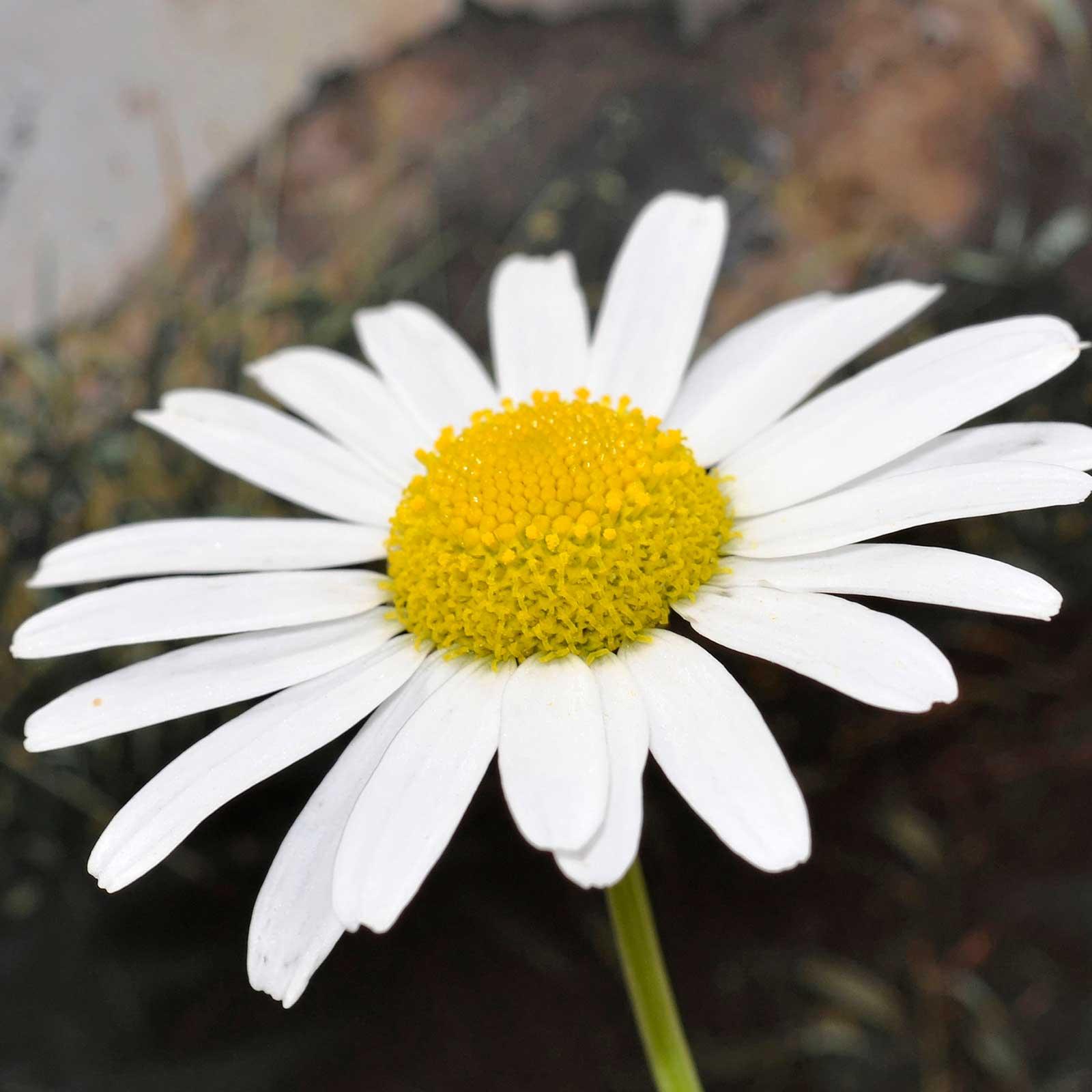Shasta Daisy Flower Seeds Snow Lady Variety 100 Seeds Dwarf